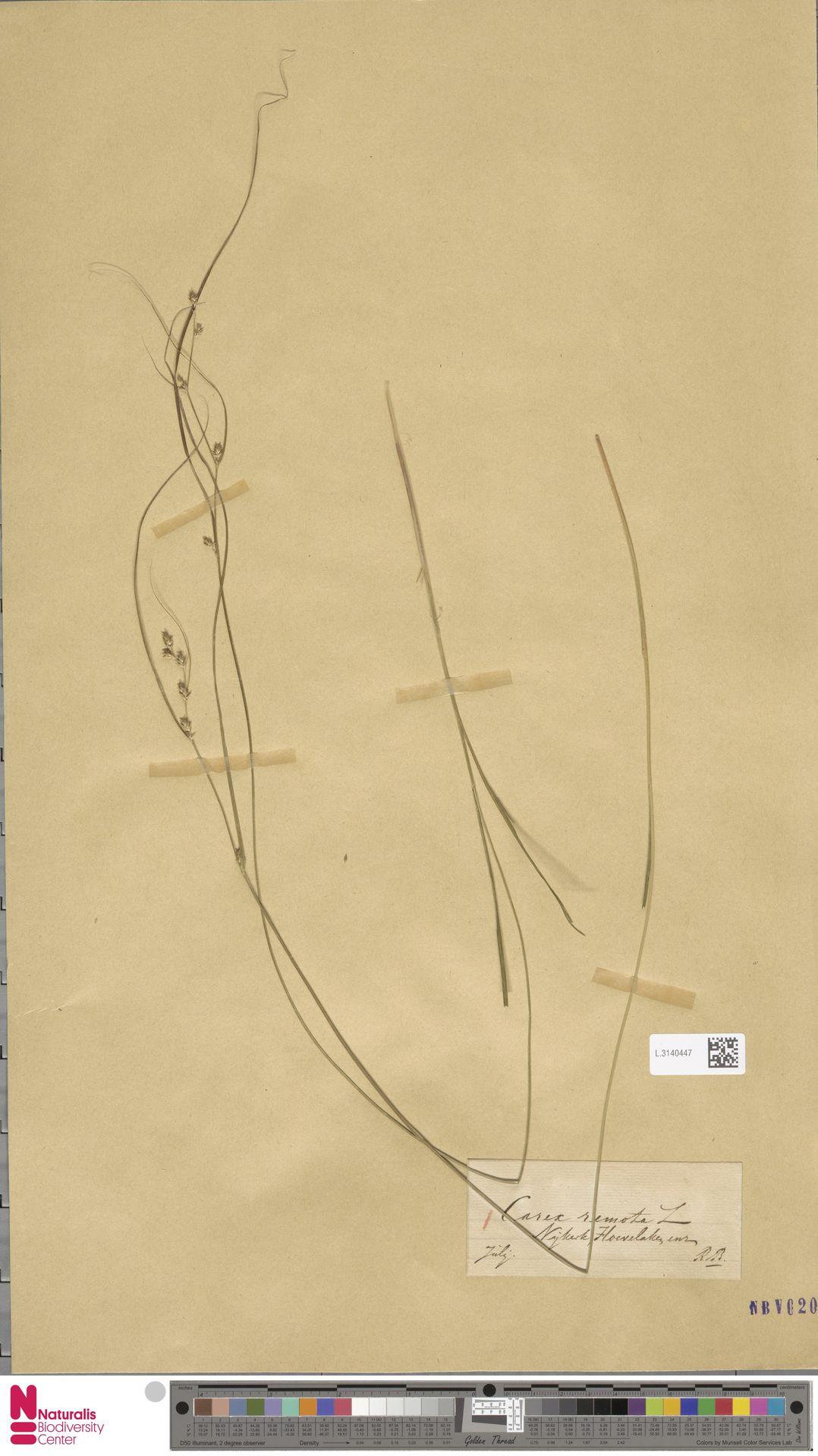 L.3140447 | Carex remota L.