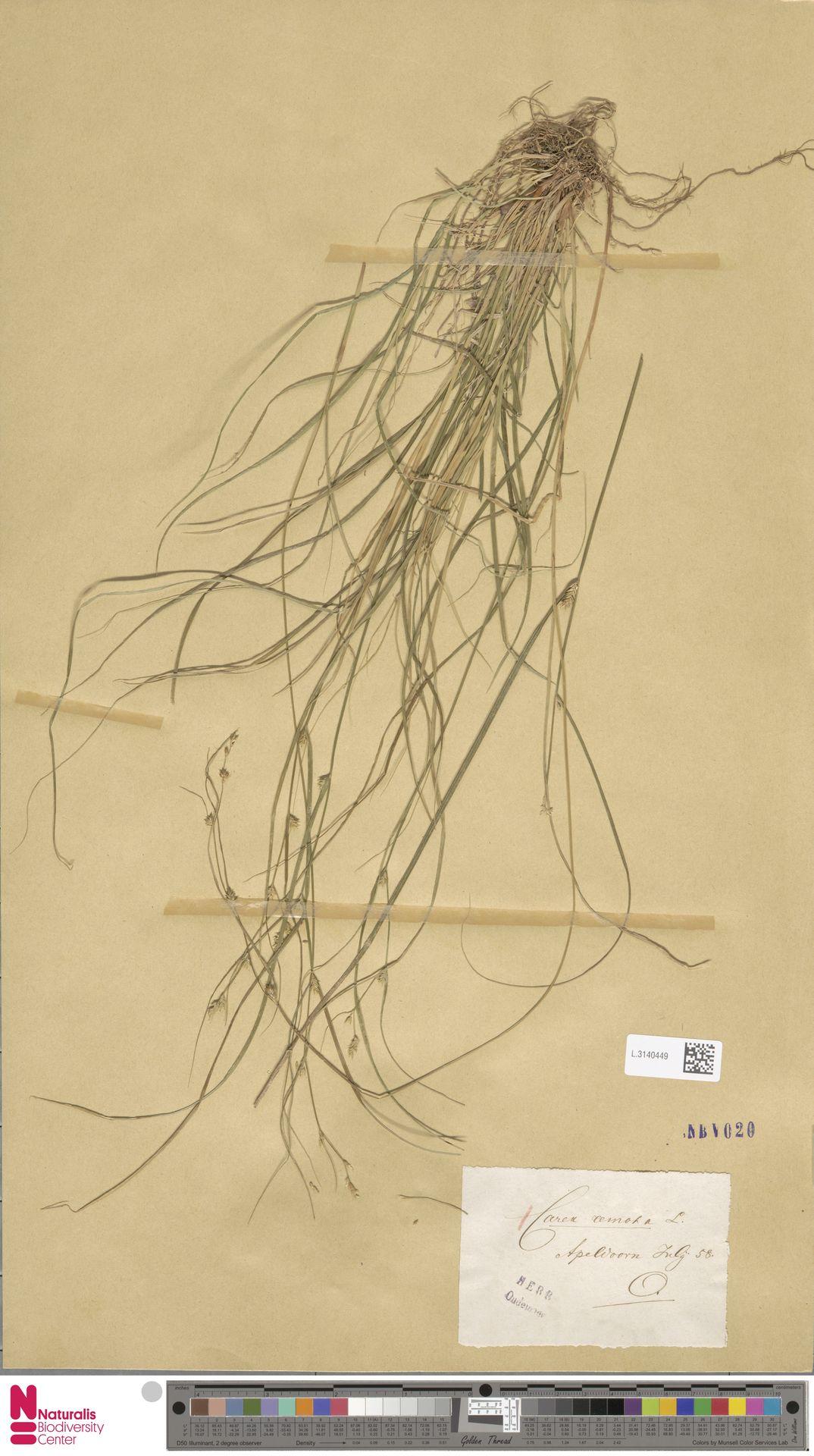 L.3140449 | Carex remota L.