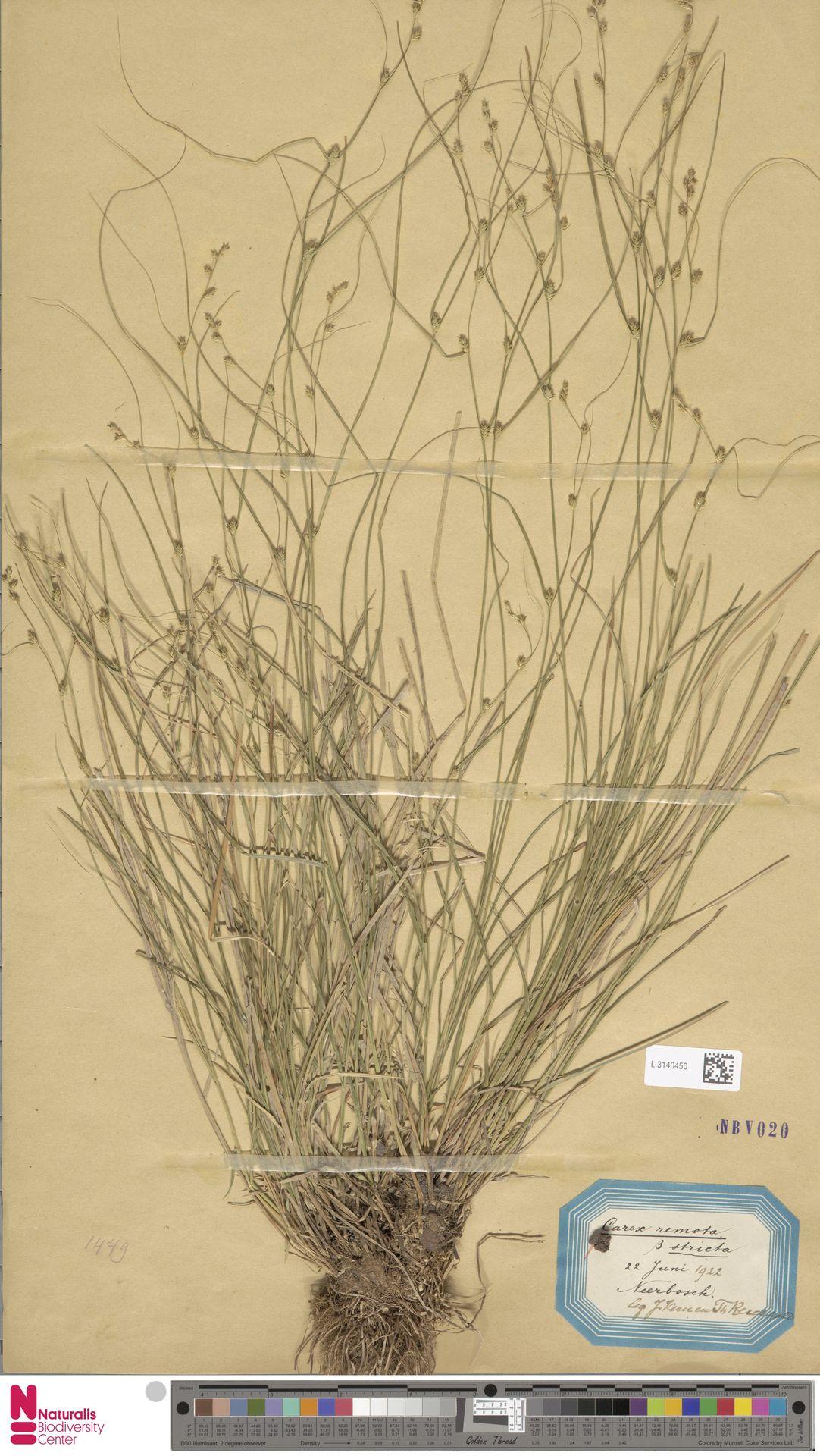 L.3140450   Carex remota L.