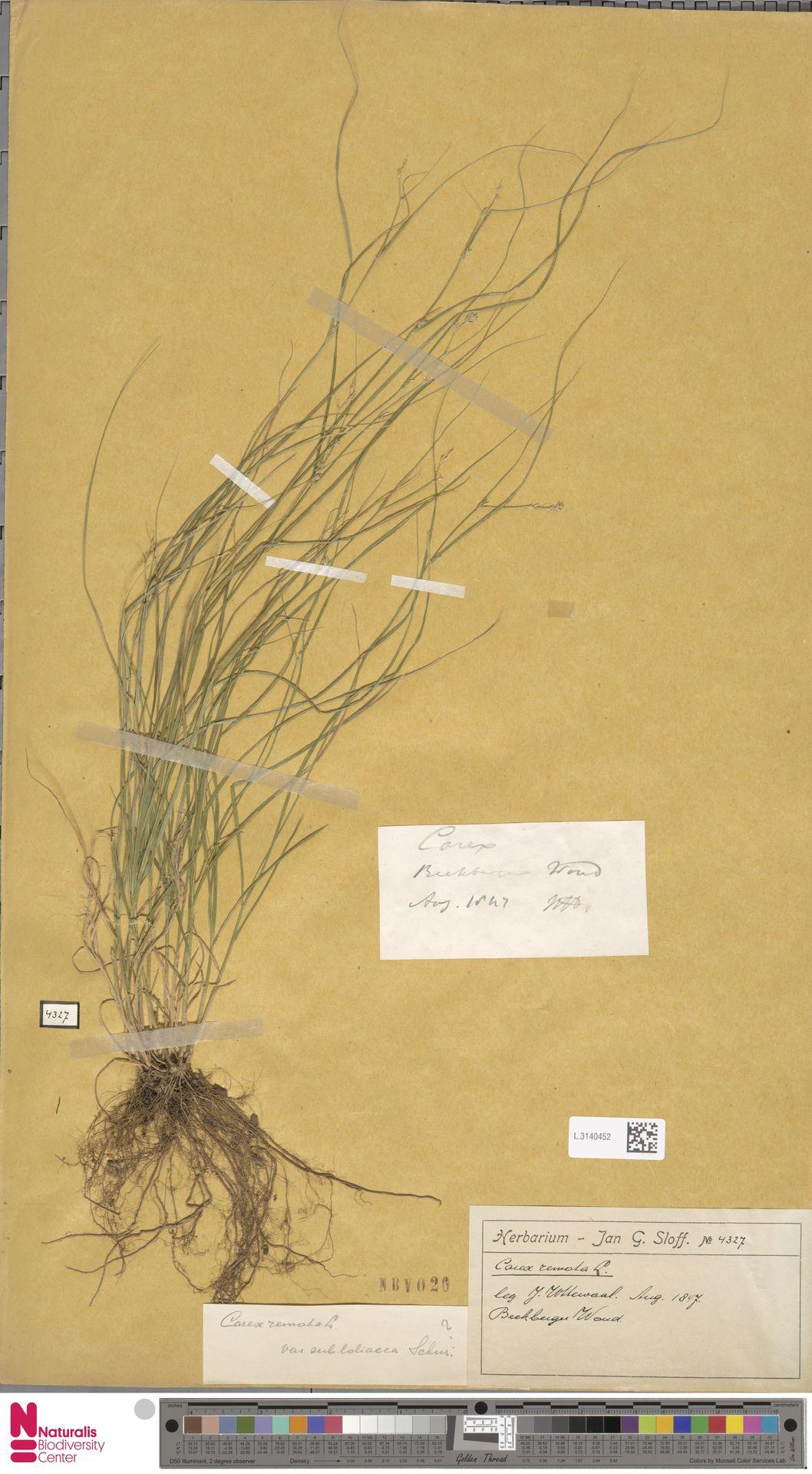 L.3140452 | Carex remota L.