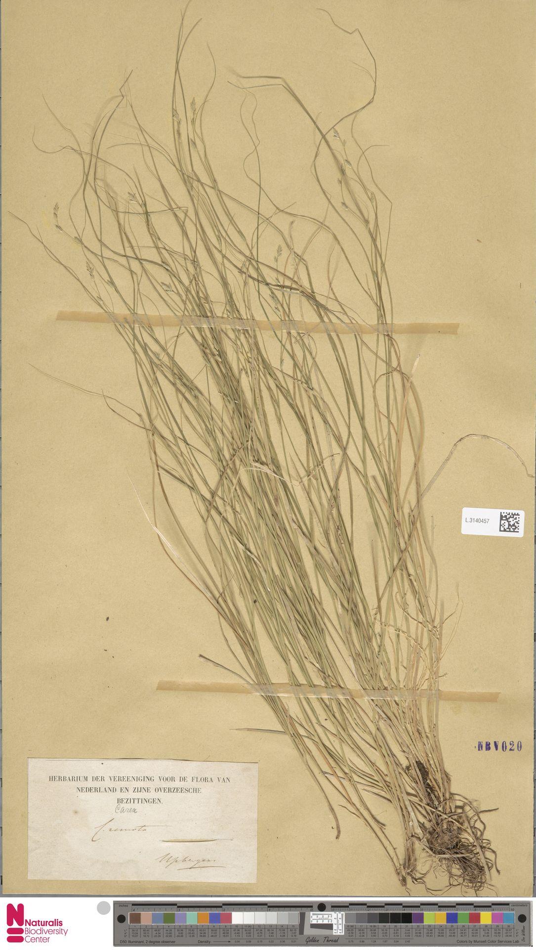 L.3140457 | Carex remota L.