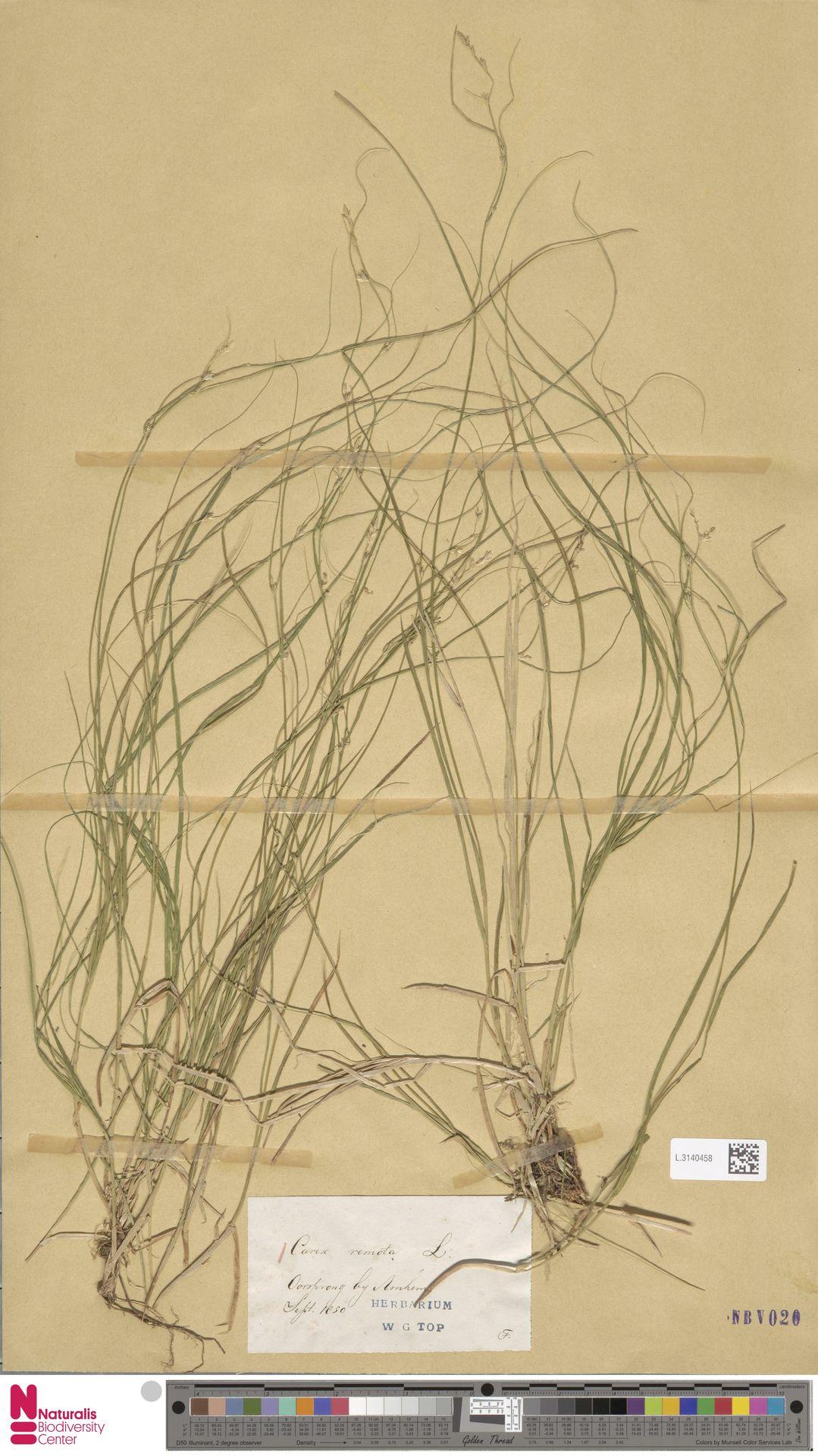 L.3140458 | Carex remota L.