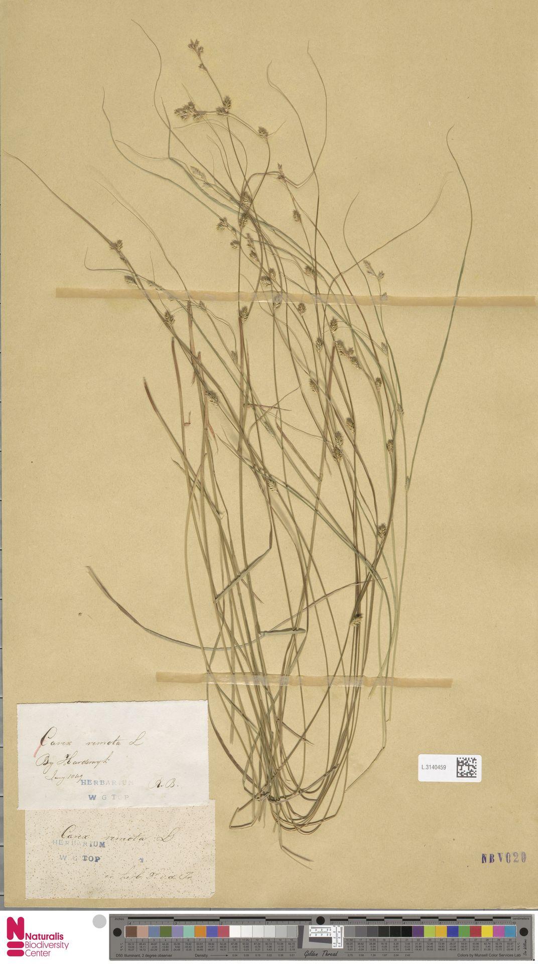 L.3140459 | Carex remota L.