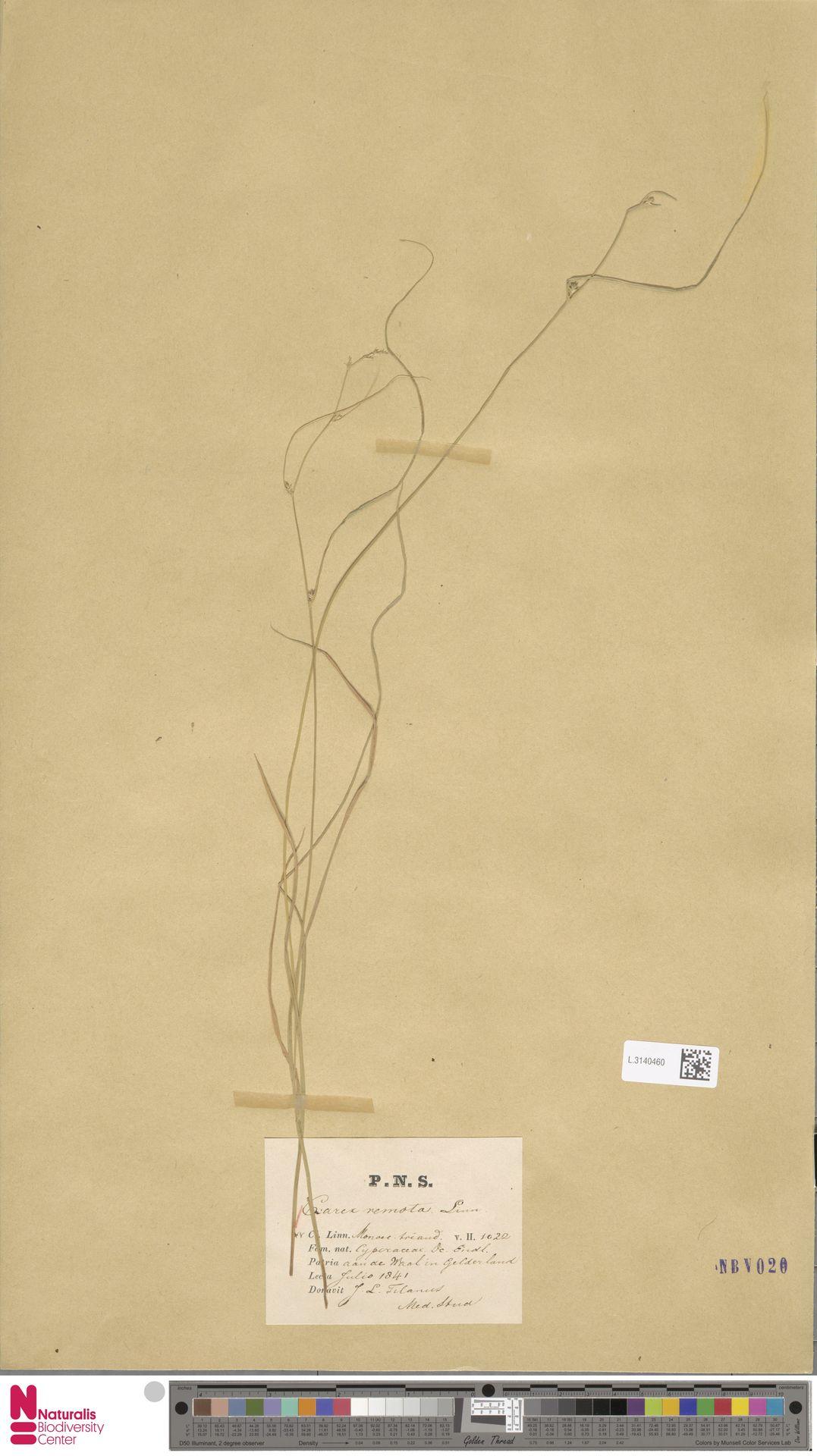 L.3140460 | Carex remota L.