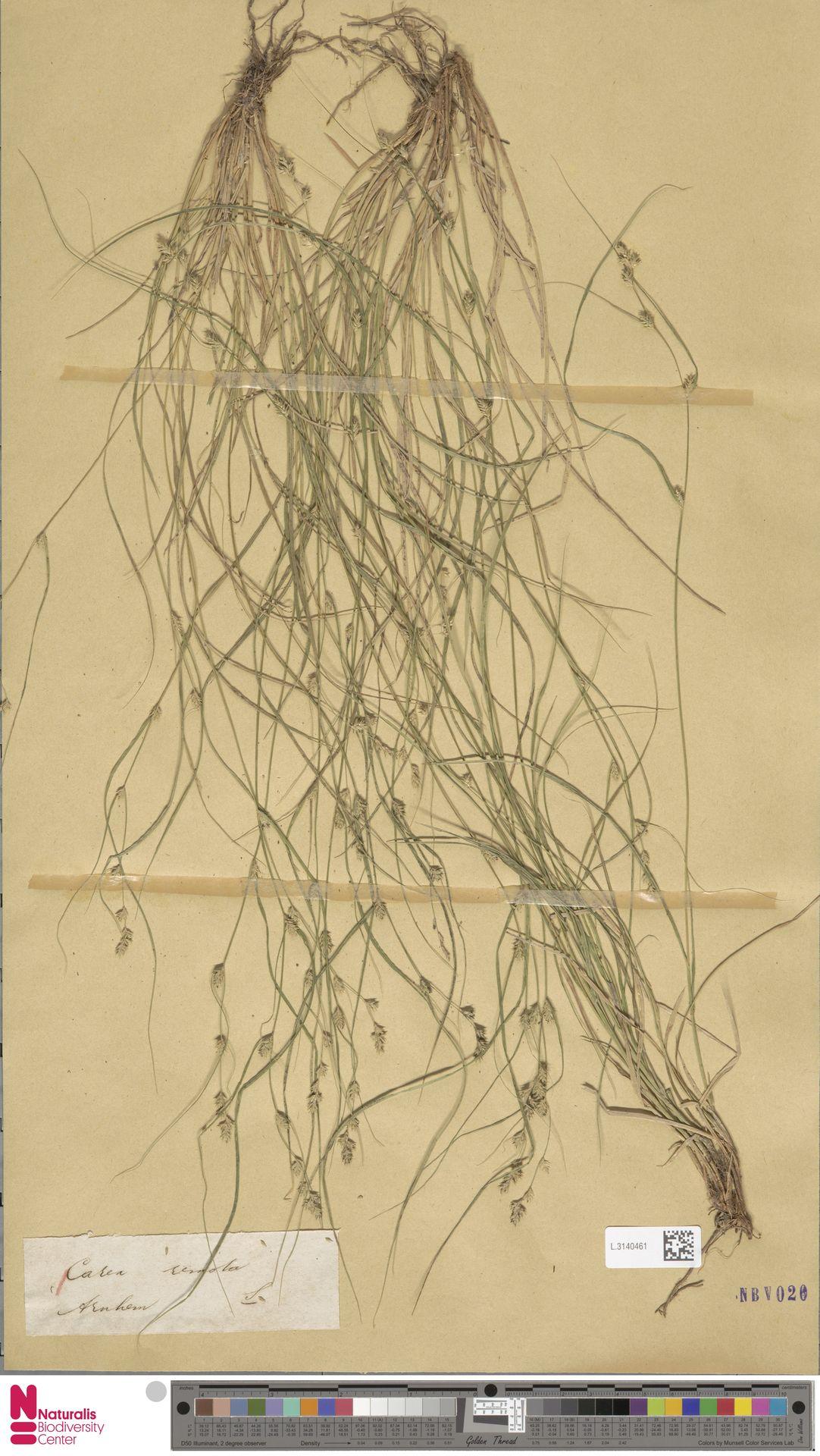 L.3140461   Carex remota L.