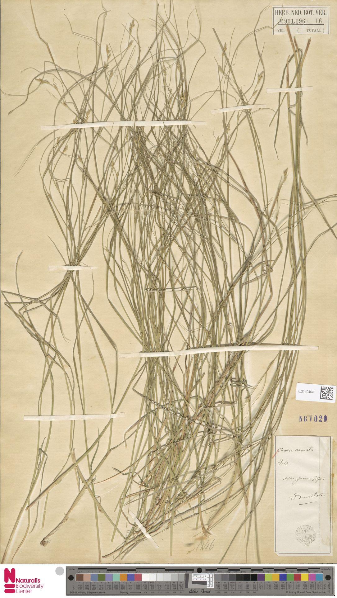L.3140464 | Carex remota L.