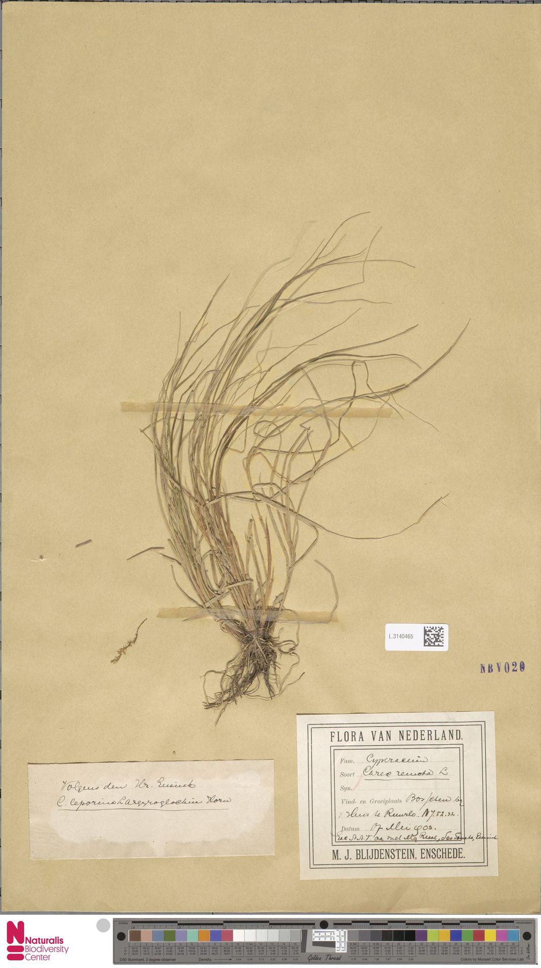 L.3140465 | Carex remota L.