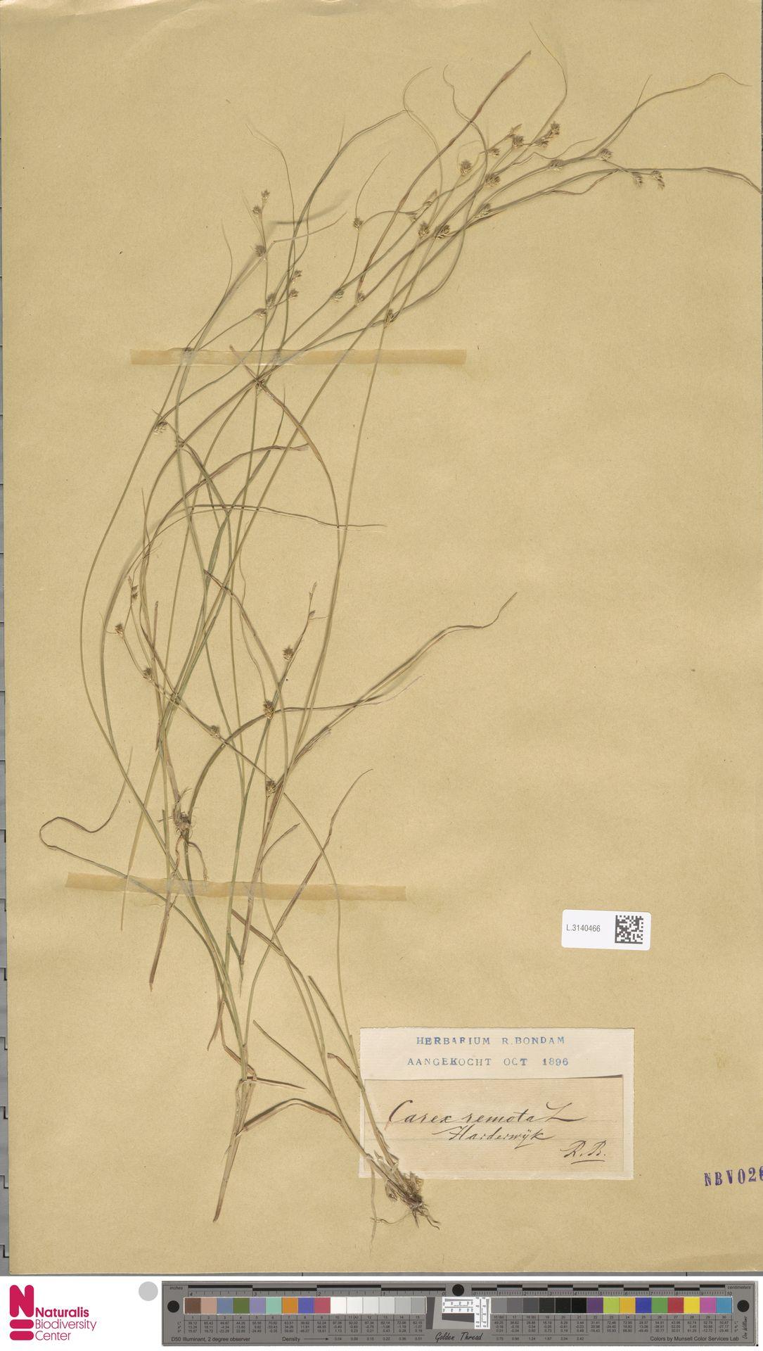 L.3140466 | Carex remota L.