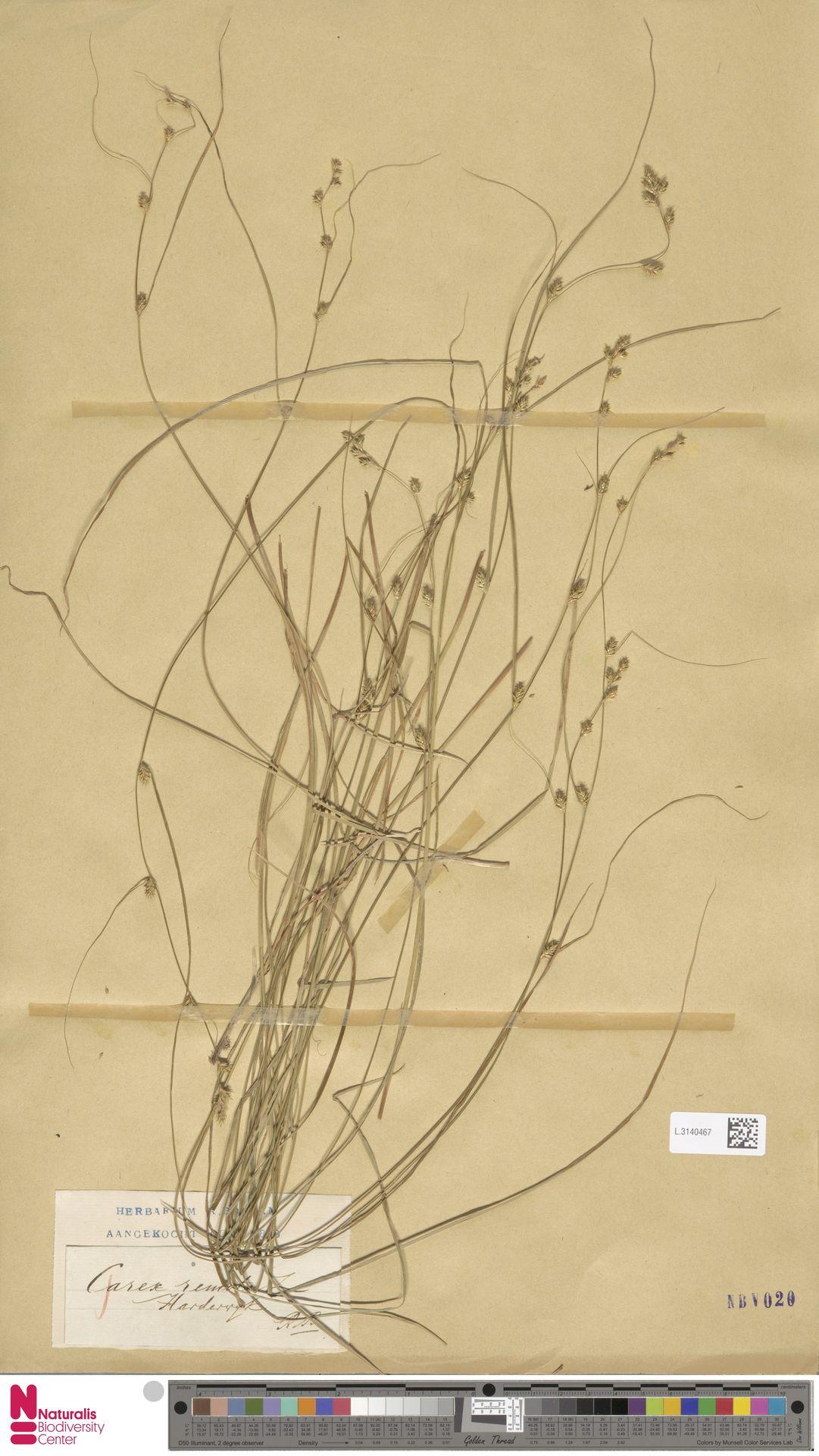 L.3140467 | Carex remota L.