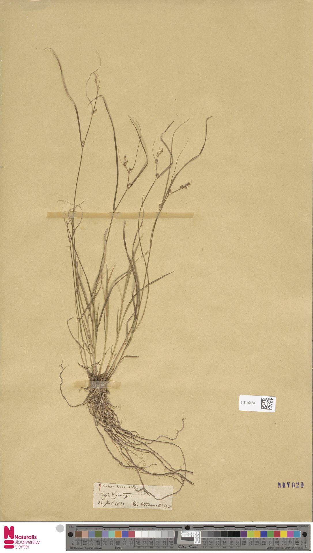L.3140468 | Carex remota L.