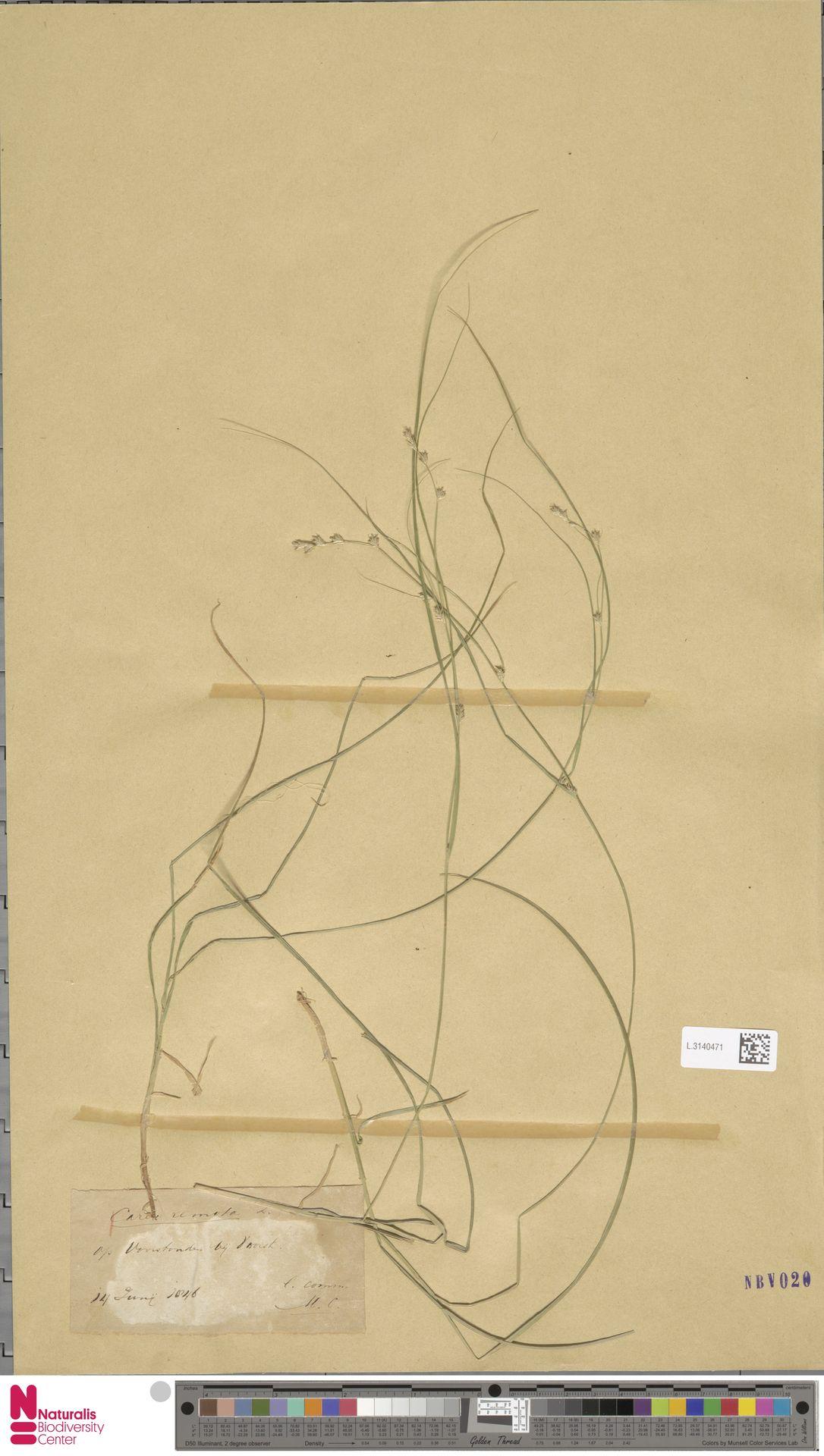 L.3140471 | Carex remota L.