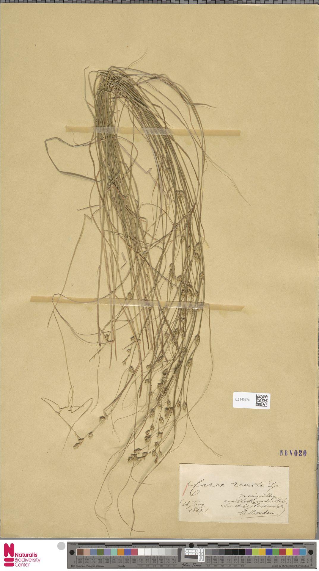 L.3140474 | Carex remota L.