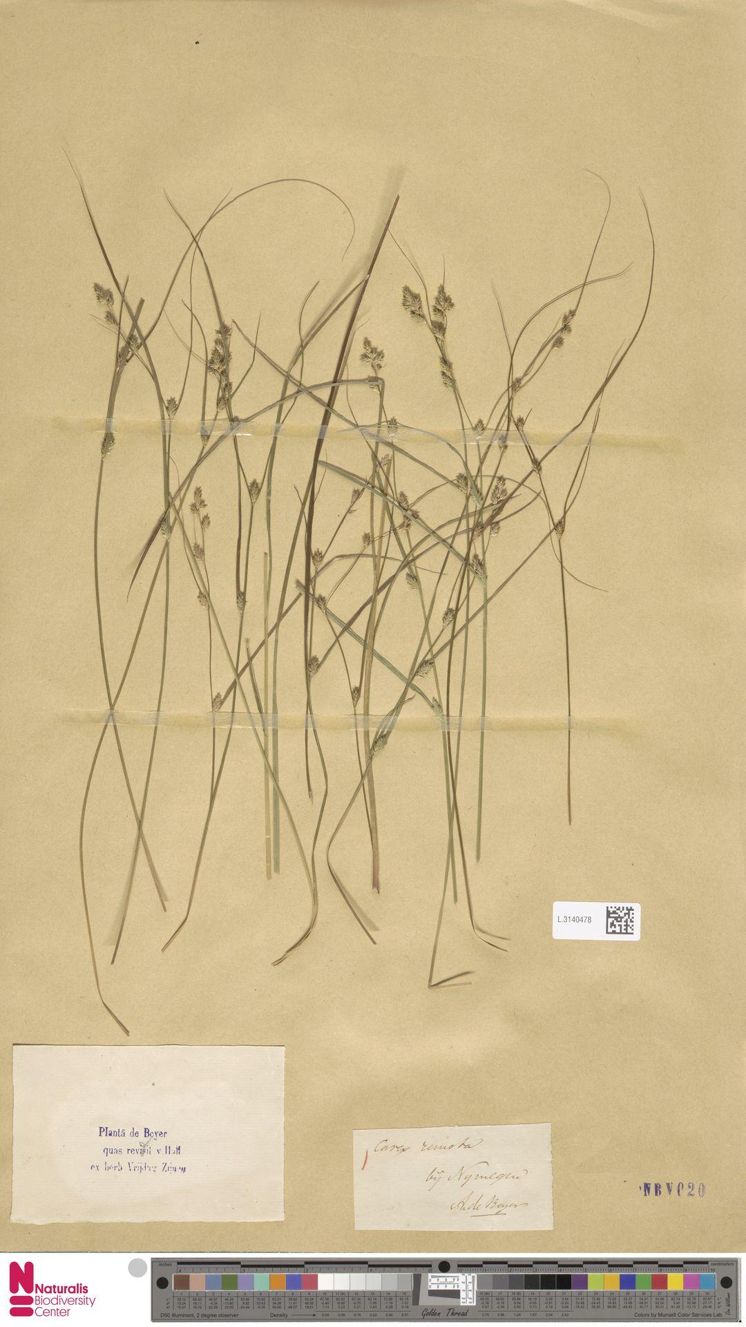 L.3140478 | Carex remota L.
