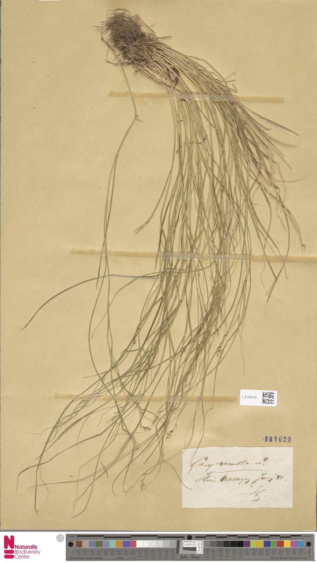 L.3140479 | Carex remota L.