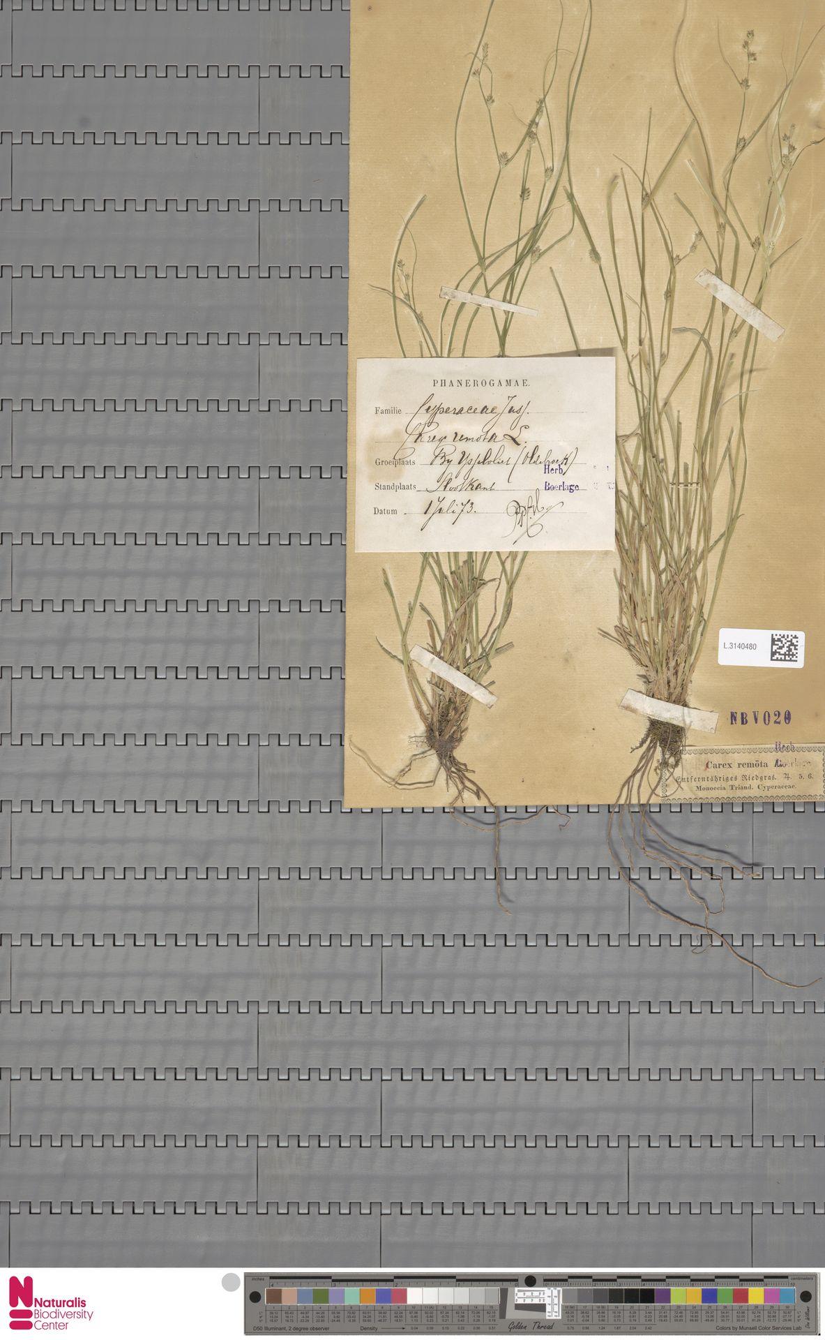 L.3140480 | Carex remota L.