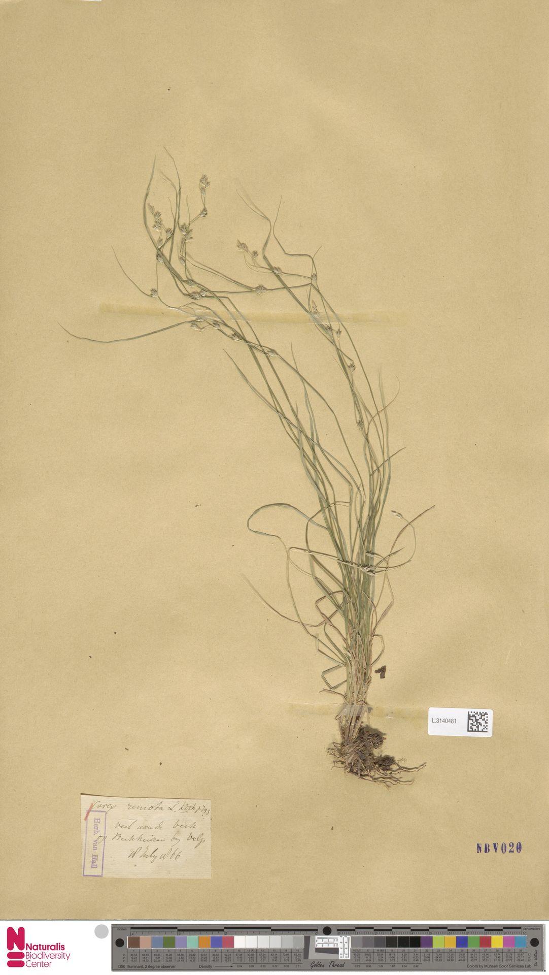 L.3140481 | Carex remota L.