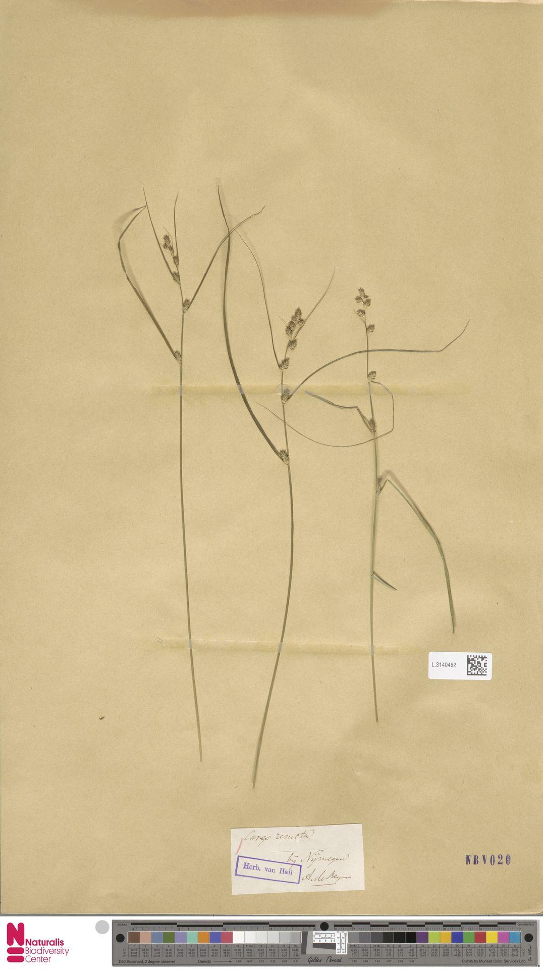 L.3140482 | Carex remota L.