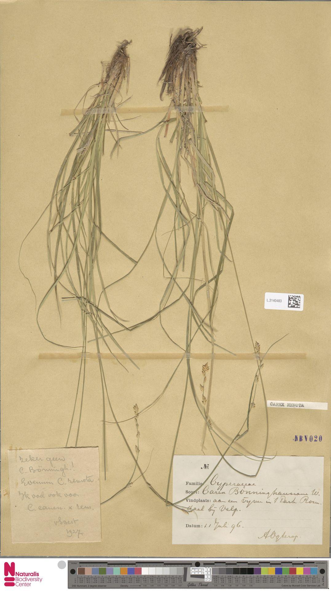 L.3140483 | Carex remota L.