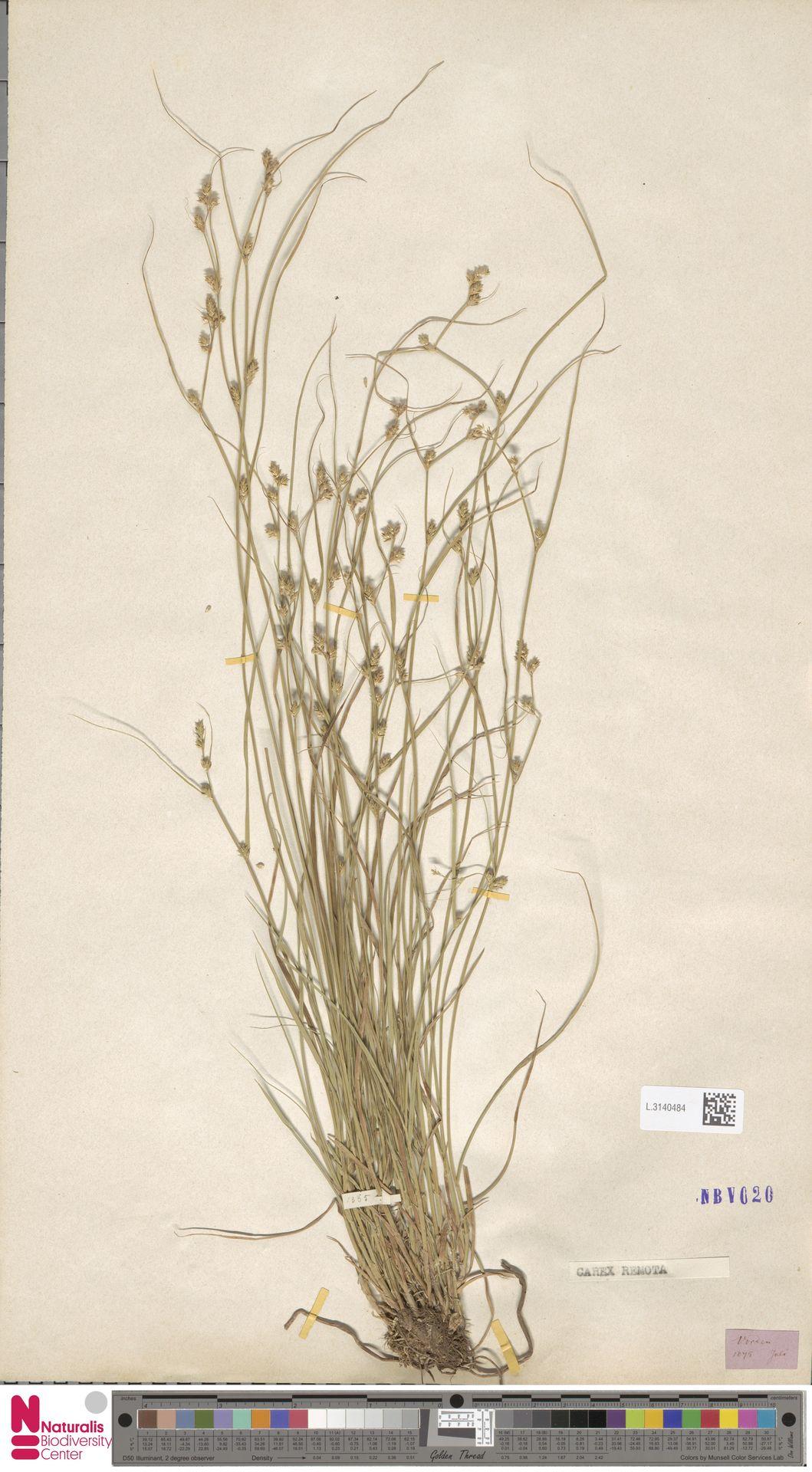 L.3140484 | Carex remota L.