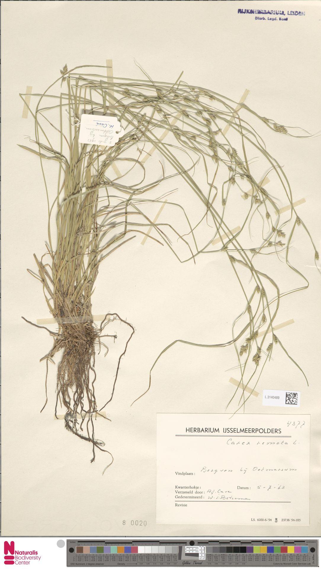 L.3140489 | Carex remota L.