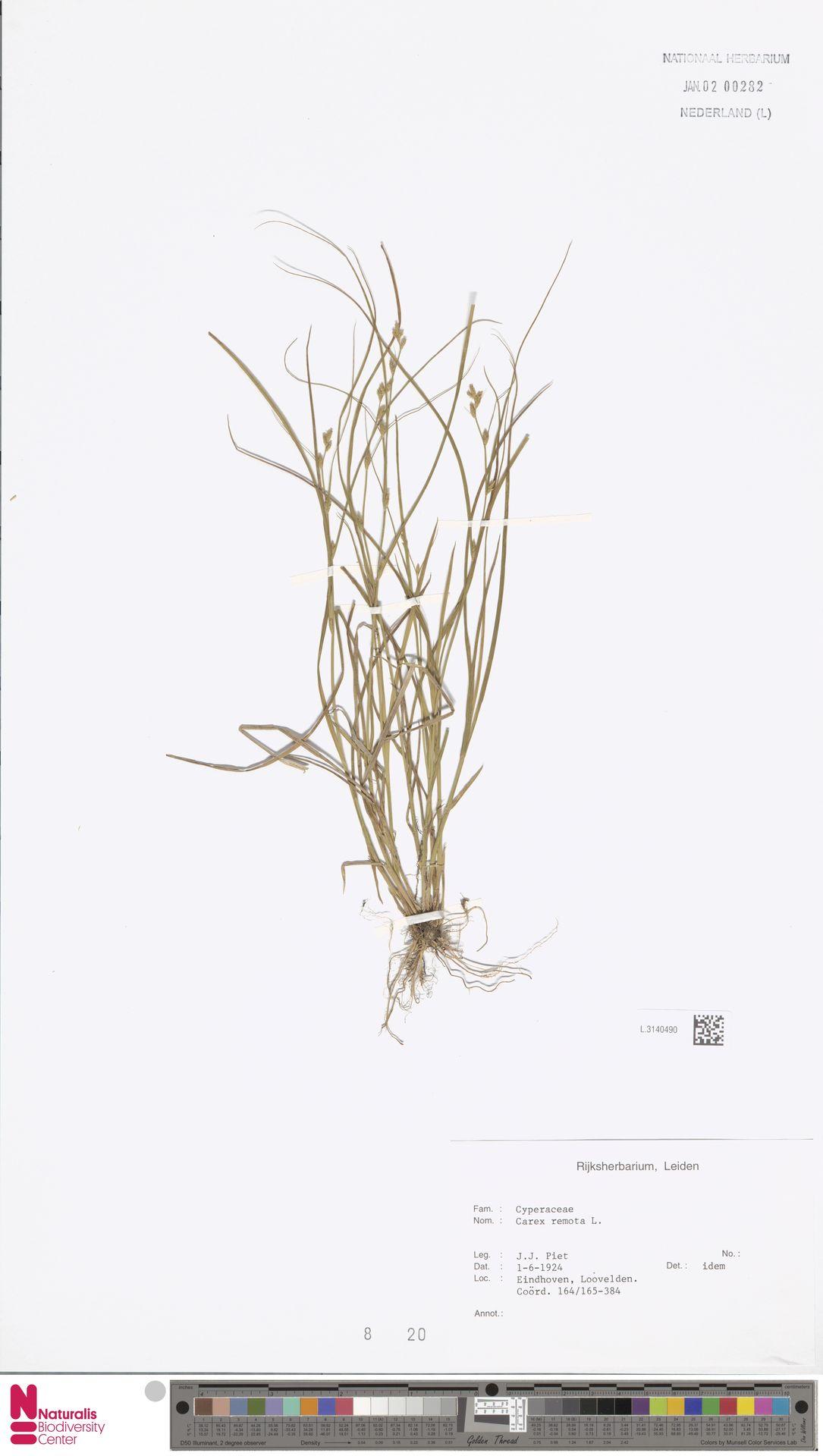 L.3140490 | Carex remota L.