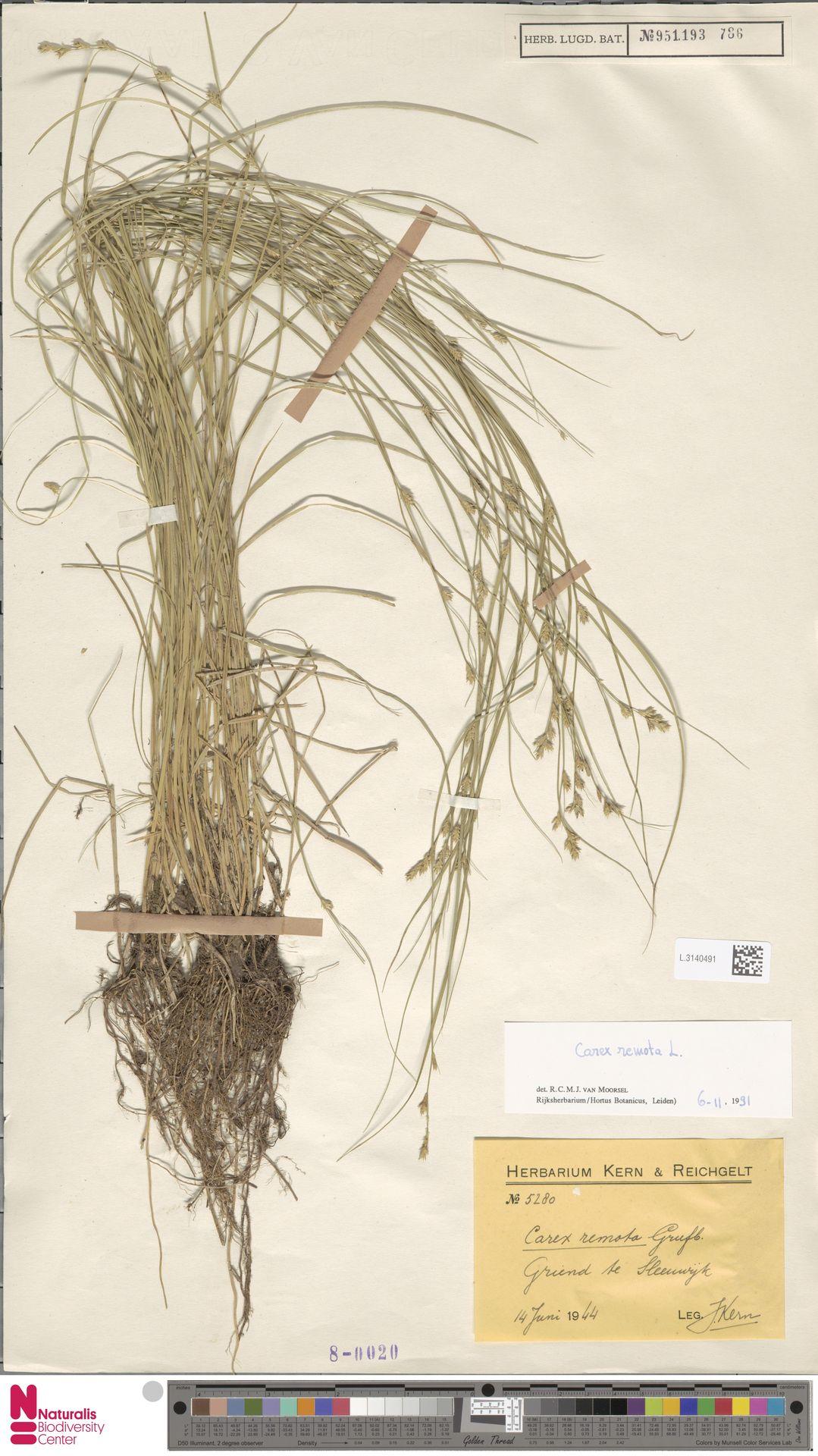 L.3140491 | Carex remota L.