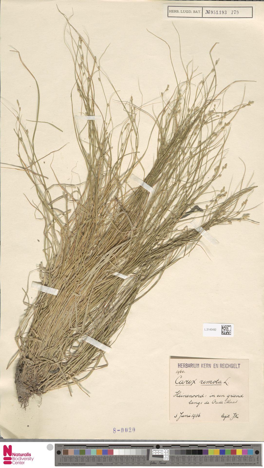 L.3140492 | Carex remota L.