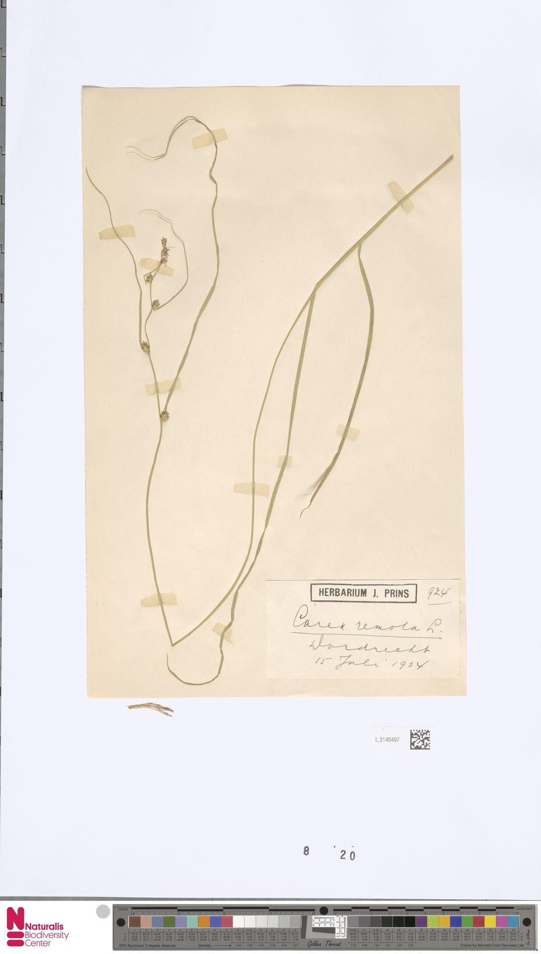 L.3140497 | Carex remota L.