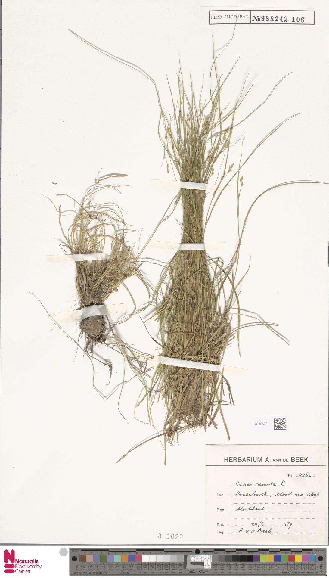 L.3140500 | Carex remota L.