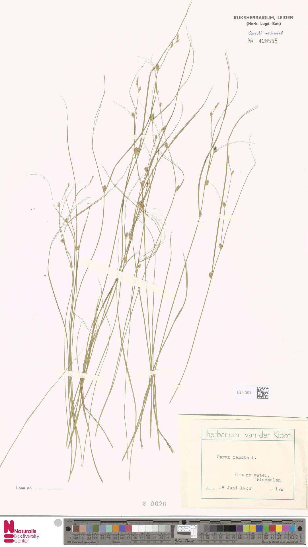 L.3140501 | Carex remota L.