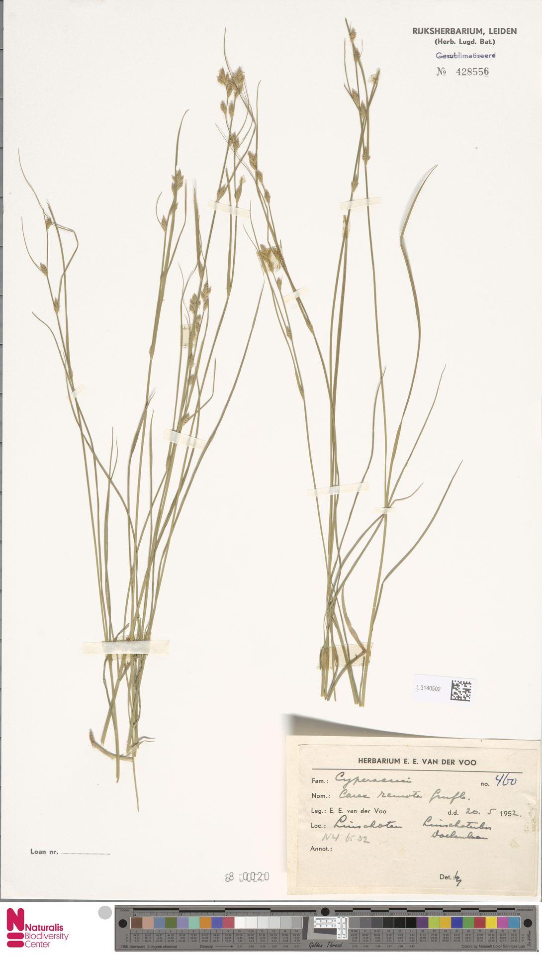L.3140502 | Carex remota L.