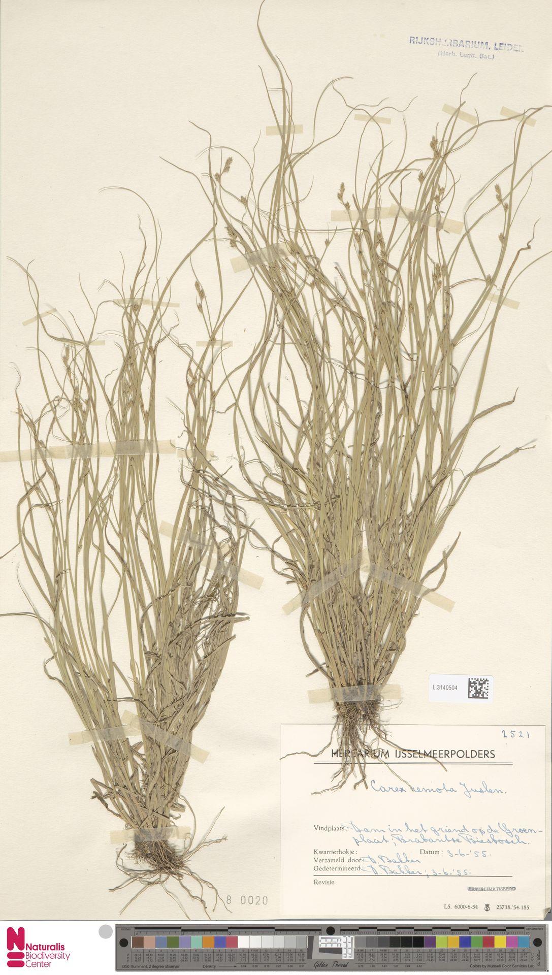 L.3140504 | Carex remota L.