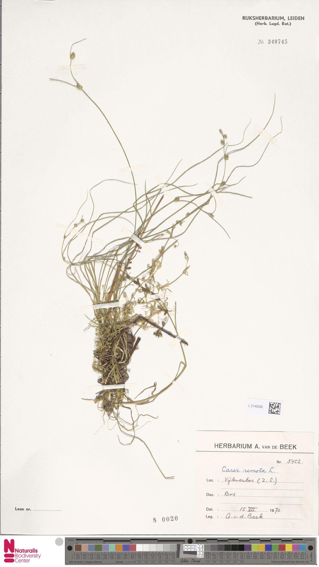 L.3140506 | Carex remota L.