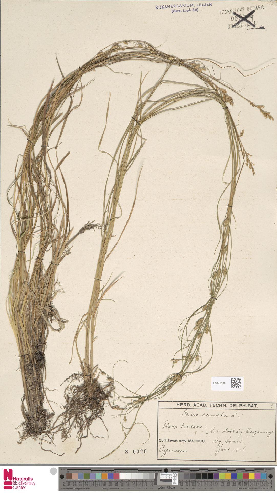 L.3140508 | Carex remota L.