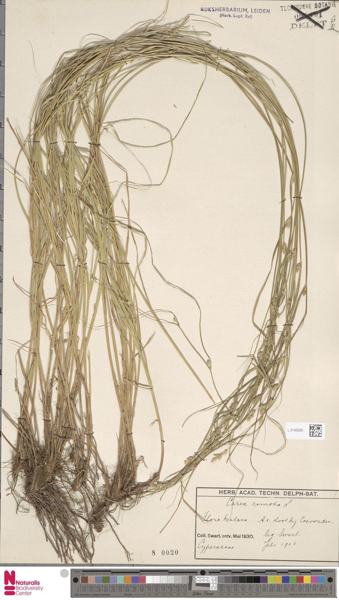 L.3140509 | Carex remota L.