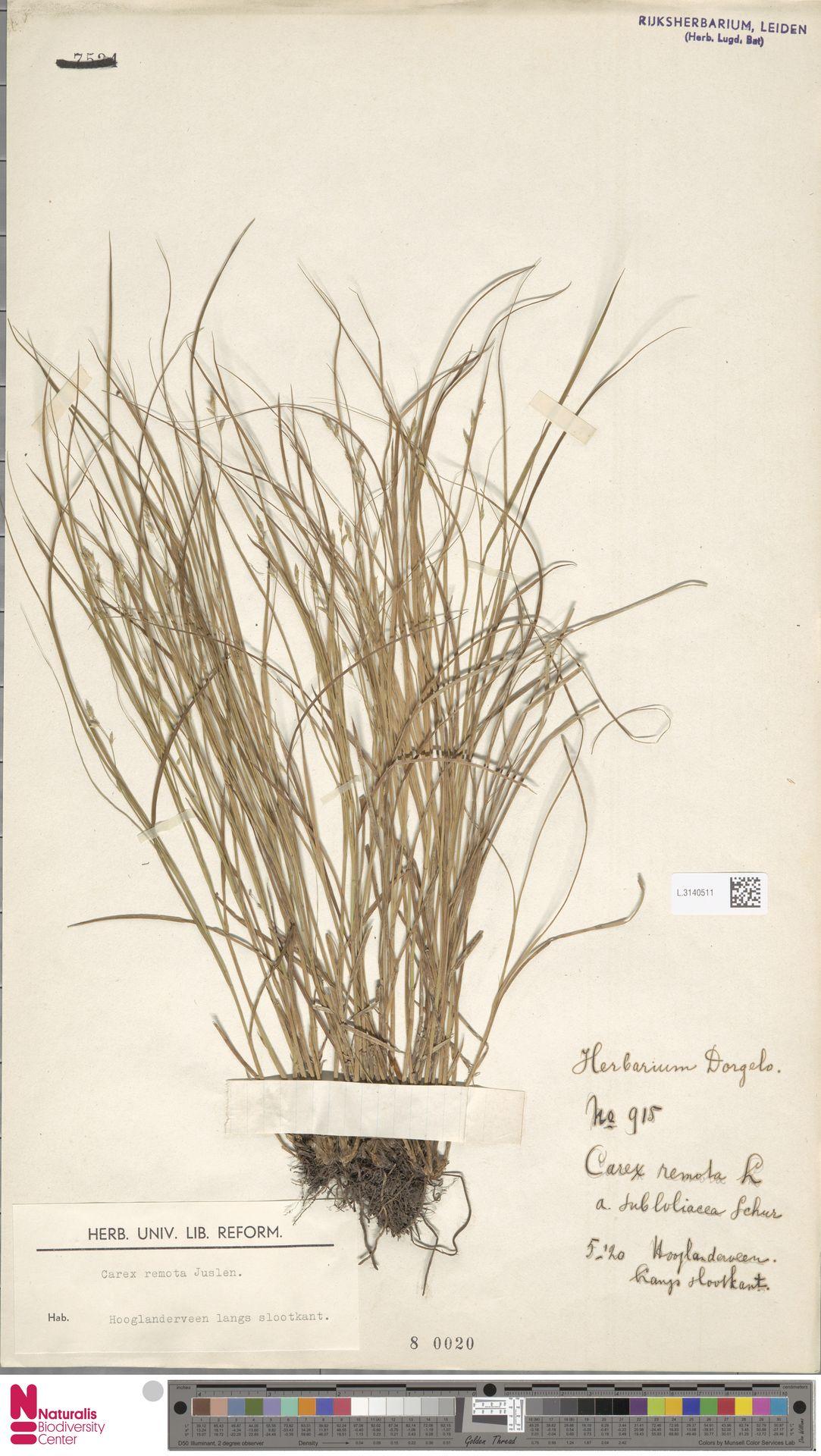 L.3140511 | Carex remota L.