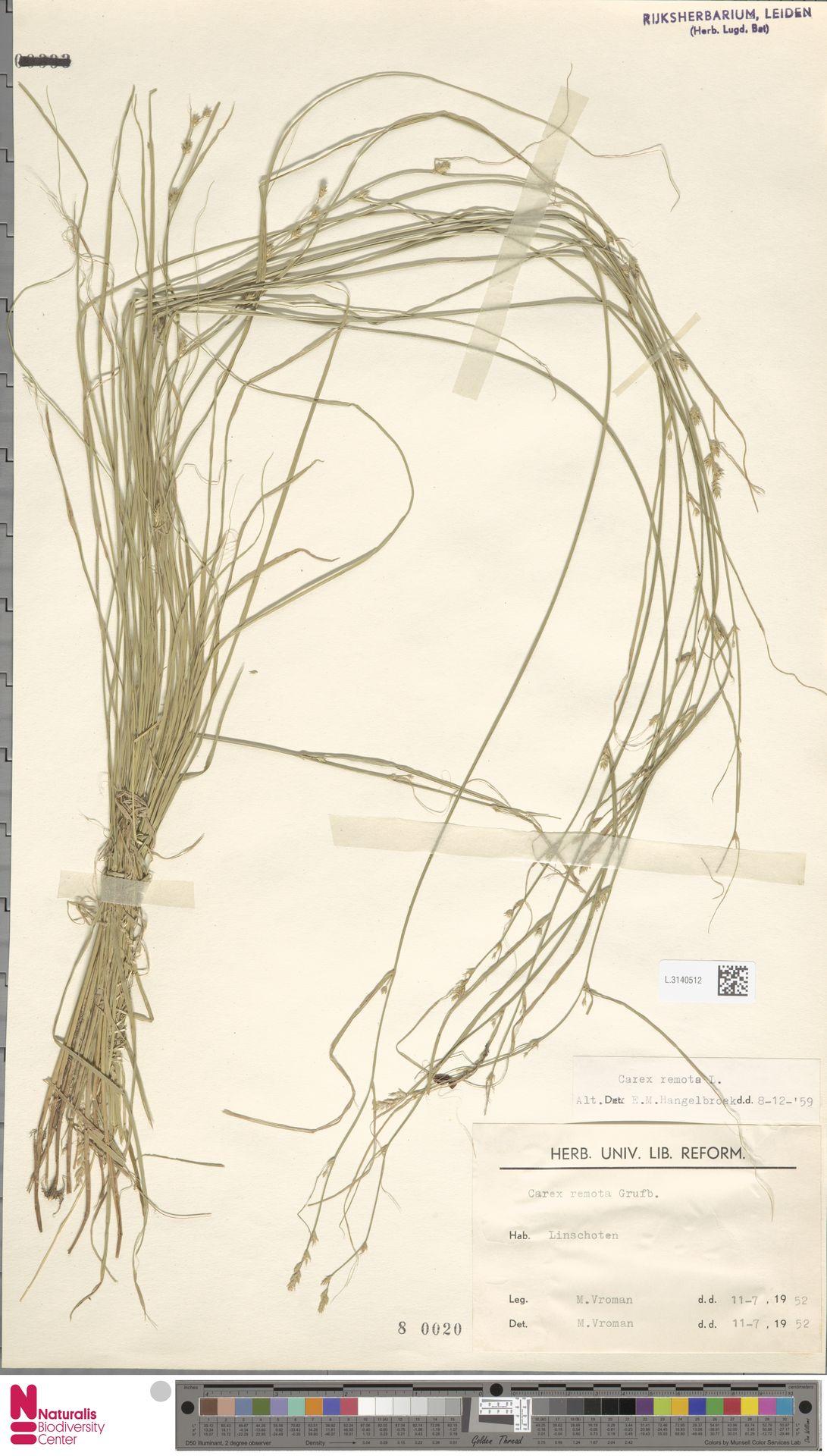 L.3140512 | Carex remota L.