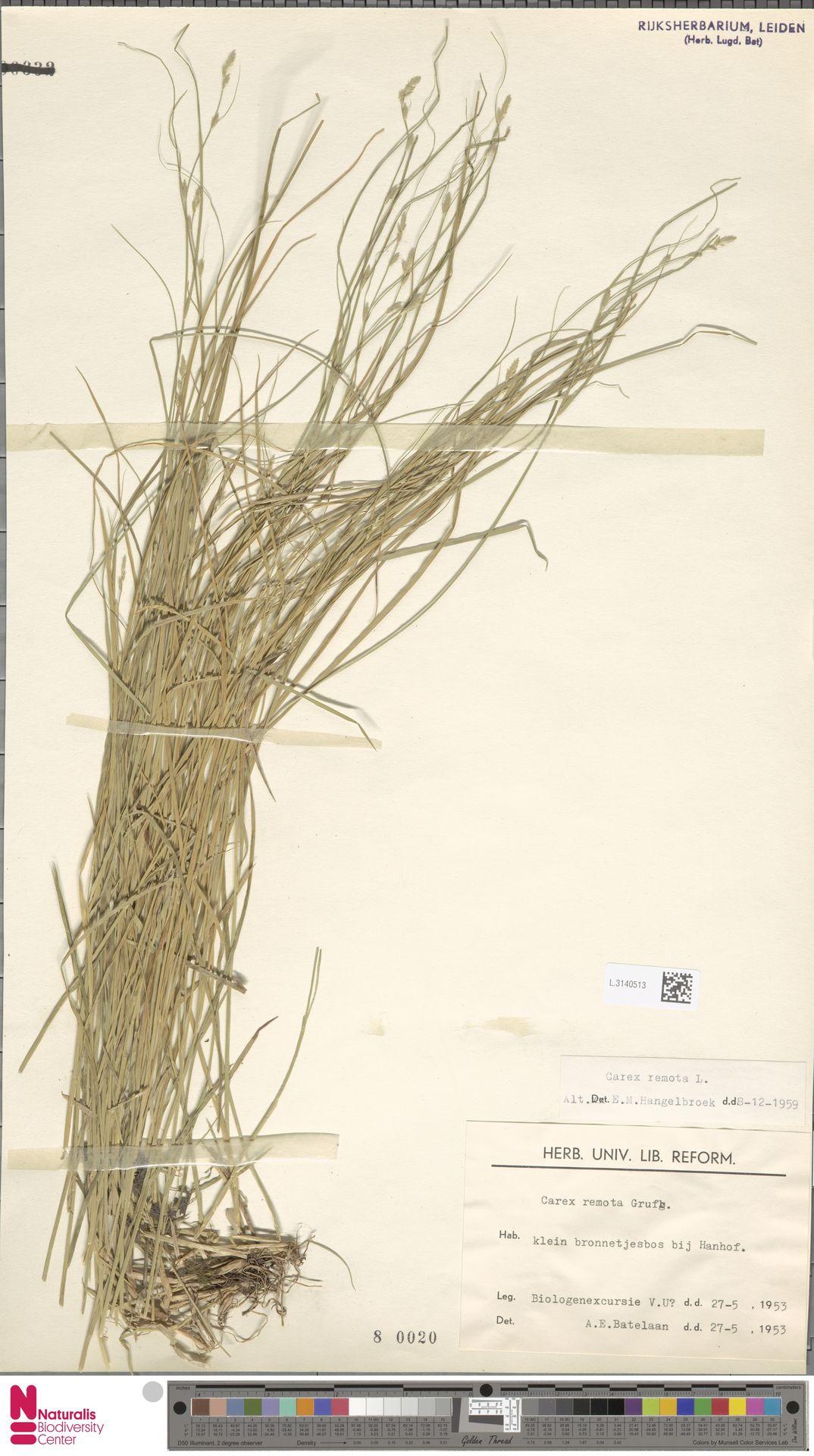 L.3140513   Carex remota L.