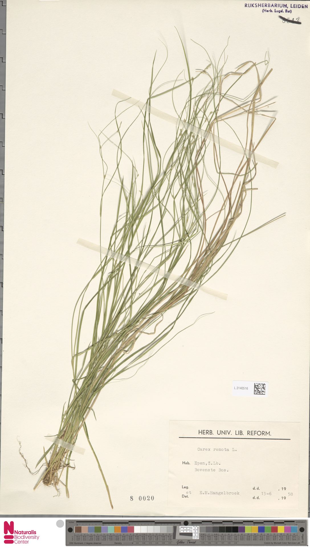 L.3140516 | Carex remota L.