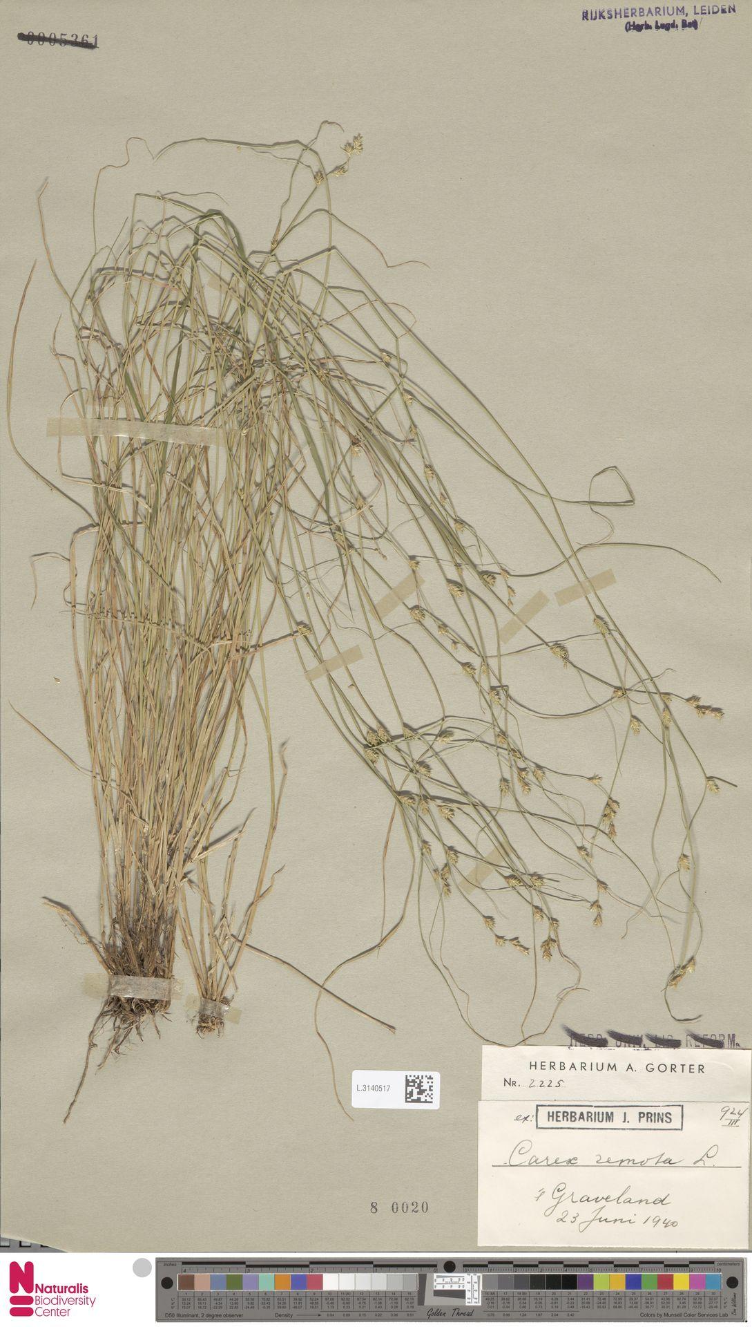 L.3140517 | Carex remota L.