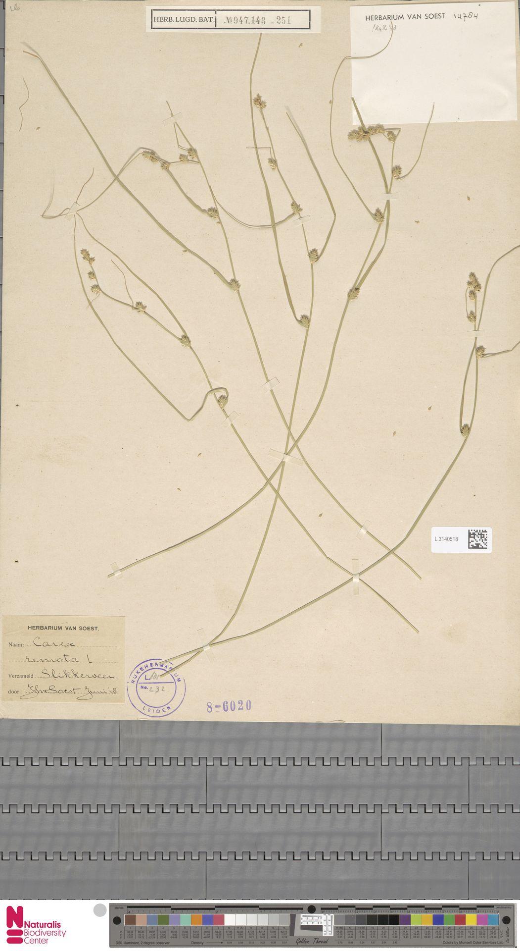 L.3140518   Carex remota L.