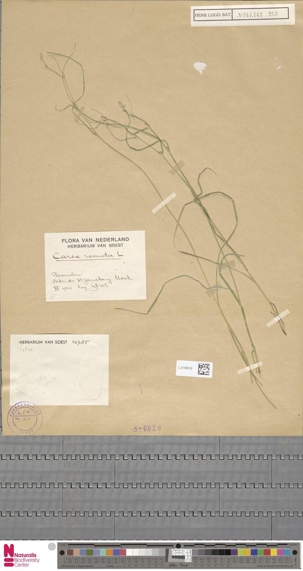 L.3140519 | Carex remota L.