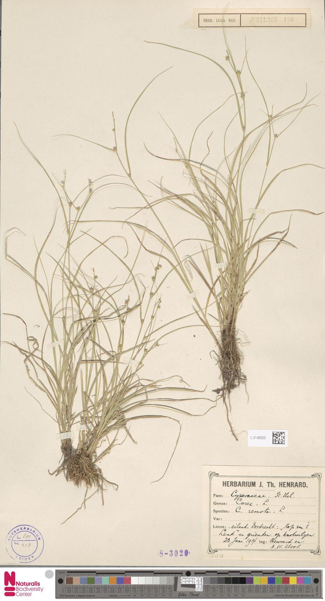 L.3140522   Carex remota L.
