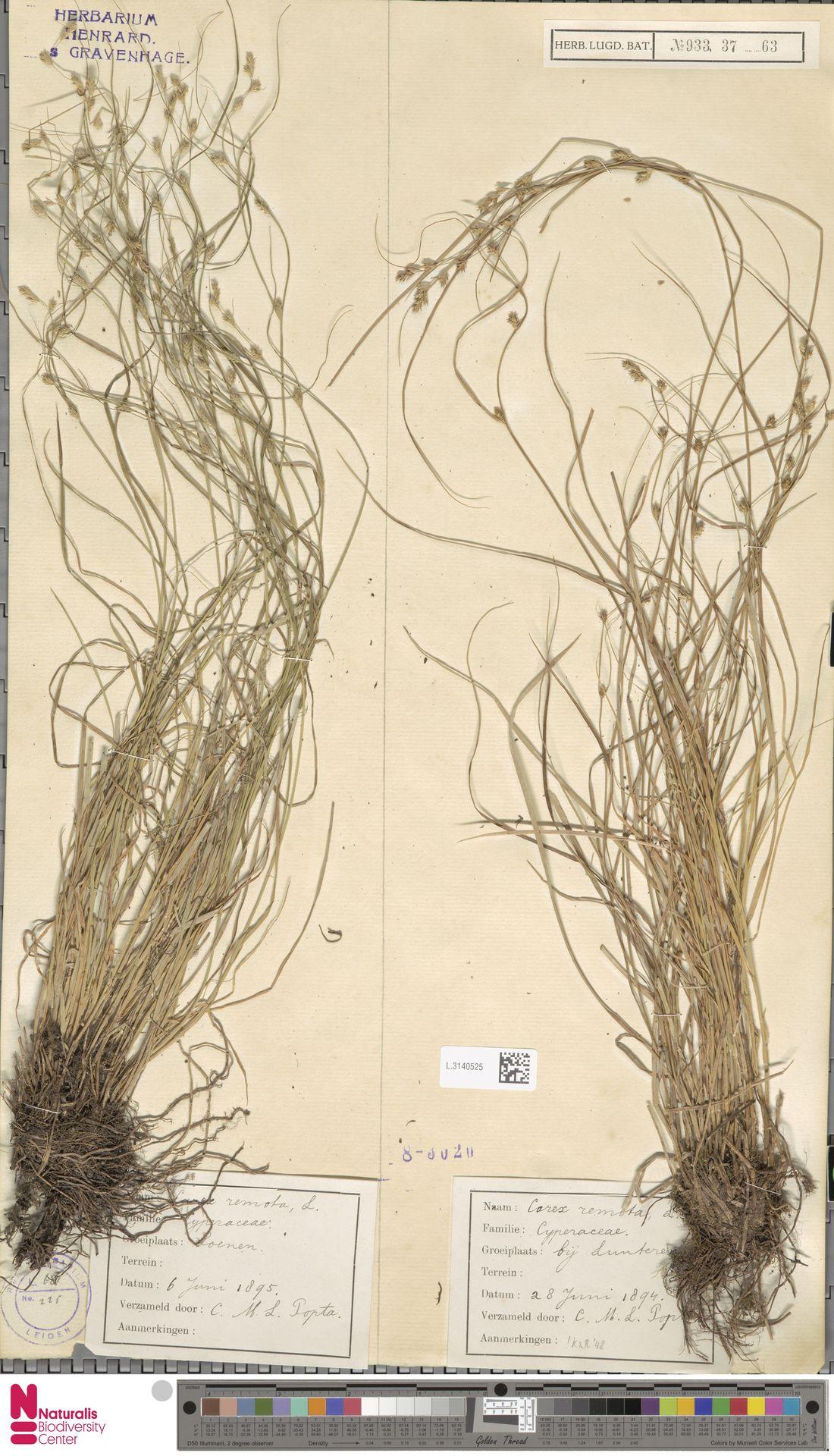 L.3140525 | Carex remota L.