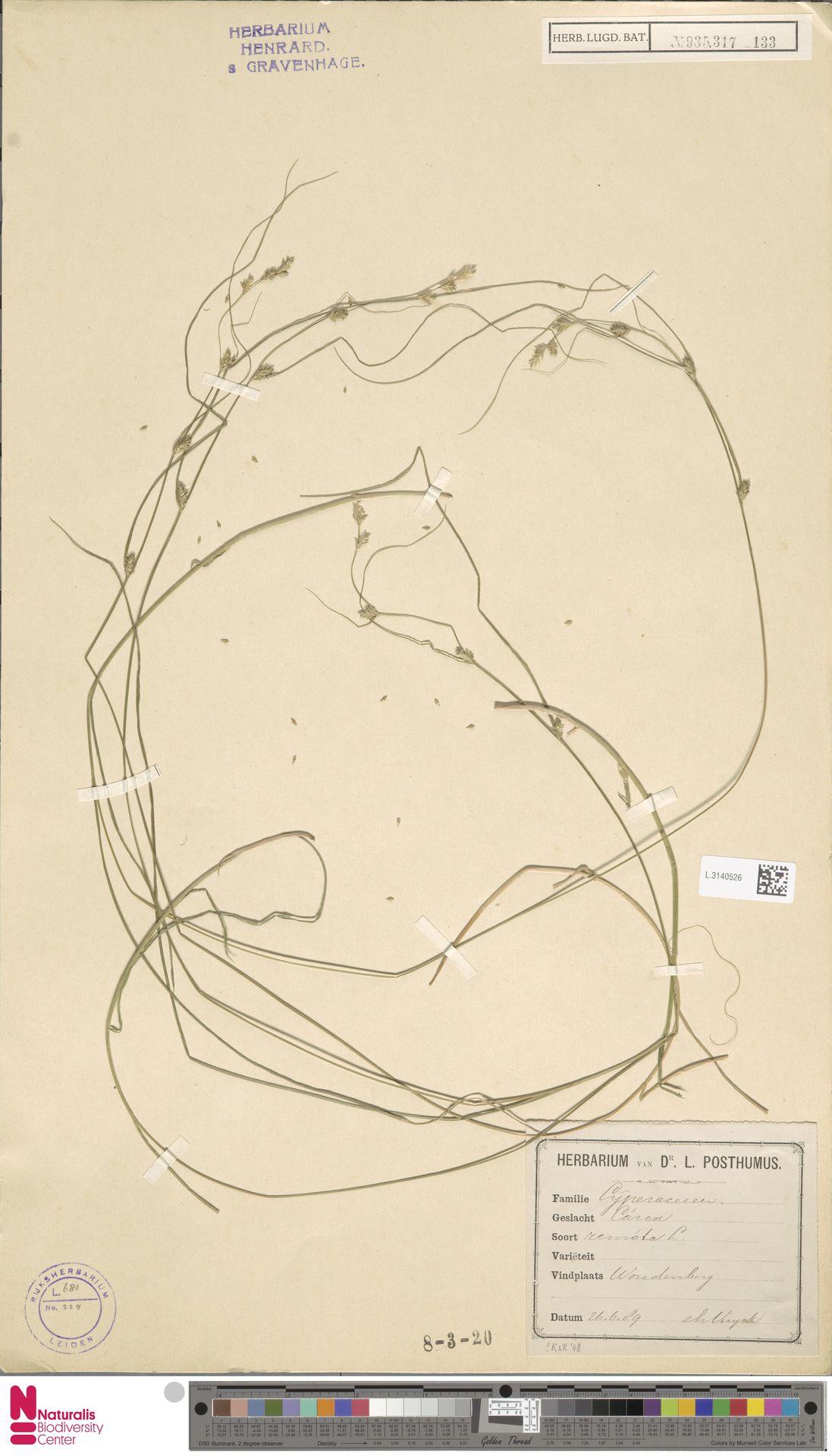 L.3140526 | Carex remota L.