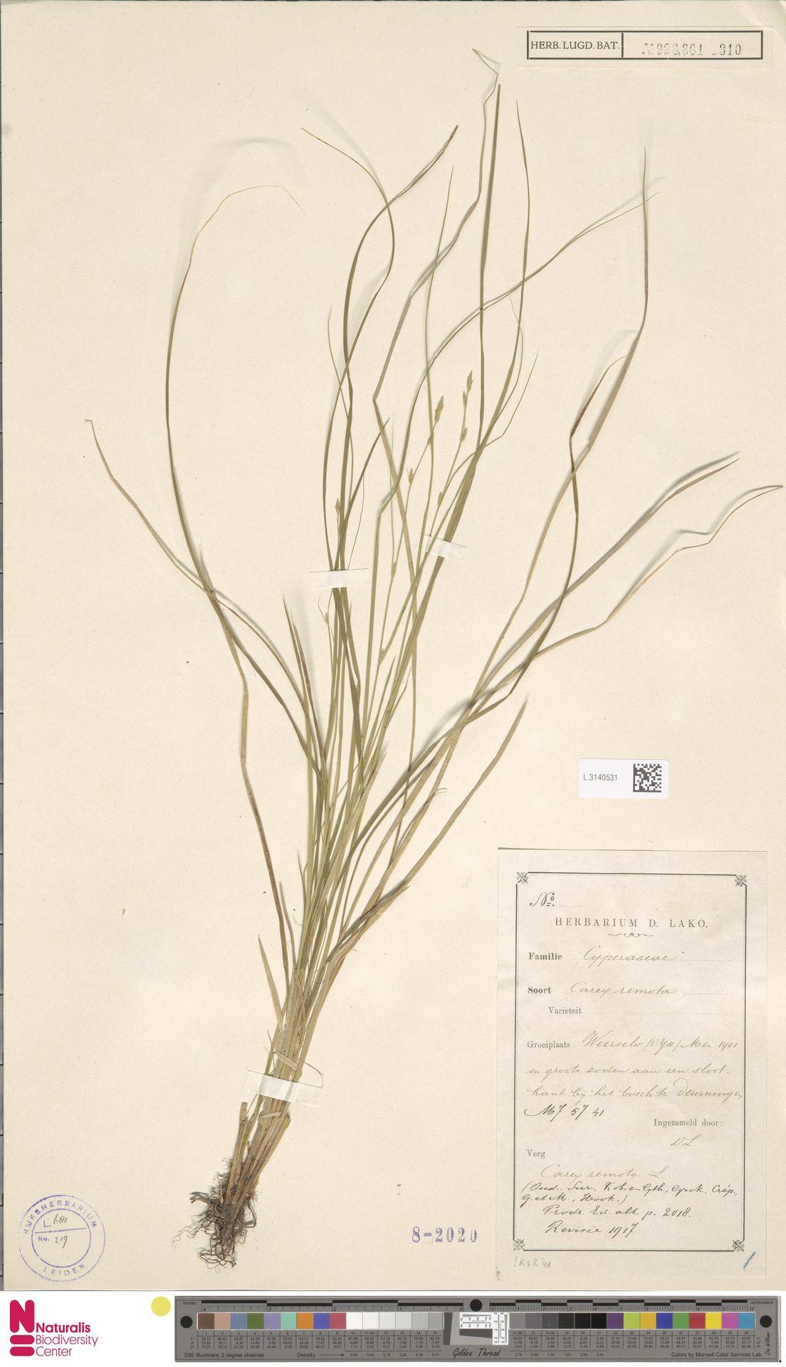 L.3140531   Carex remota L.