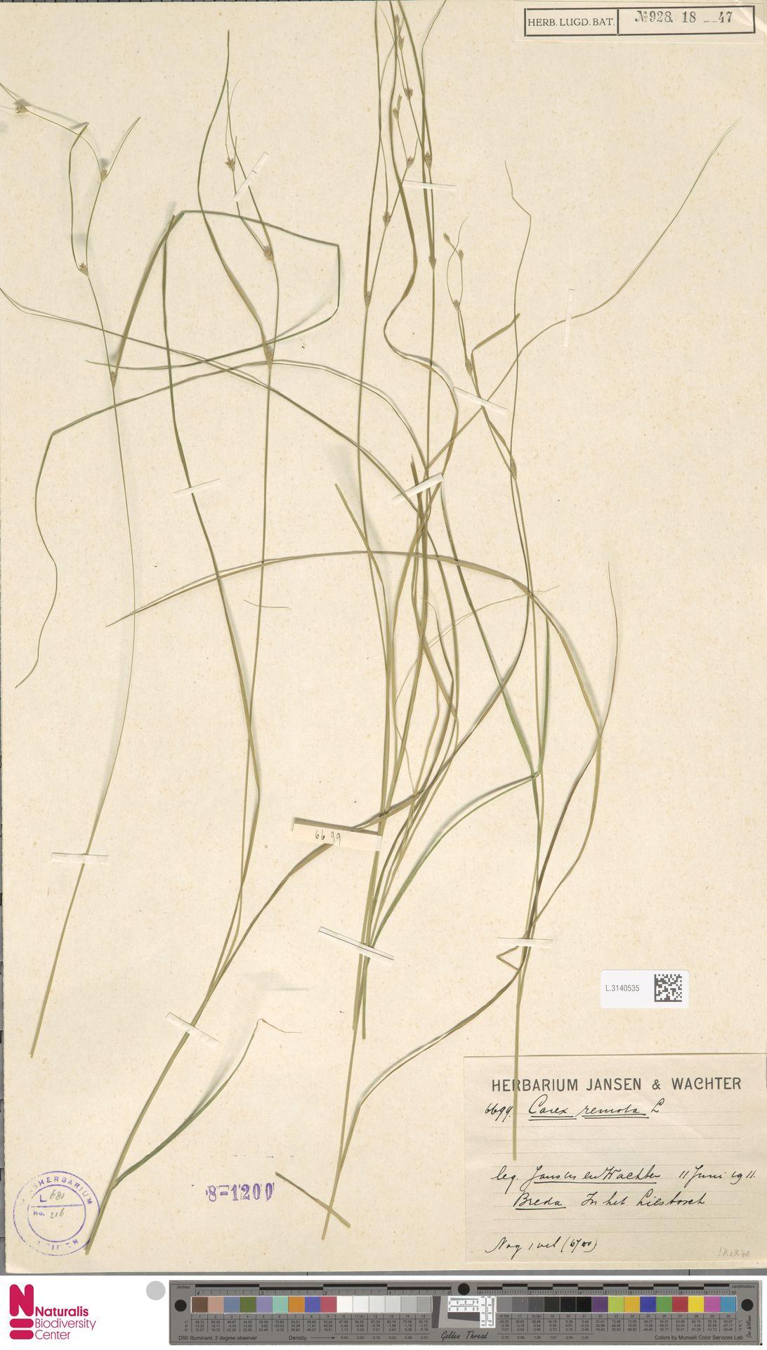 L.3140535 | Carex remota L.