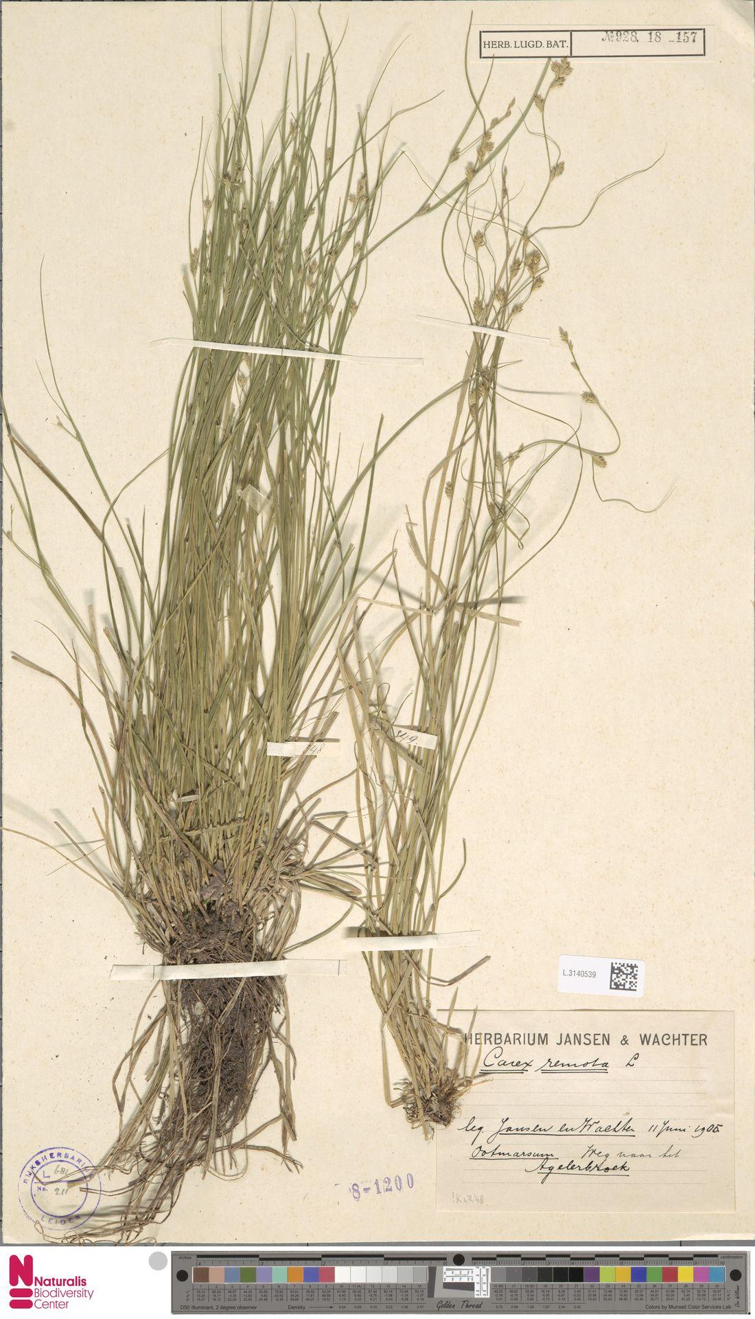 L.3140539 | Carex remota L.