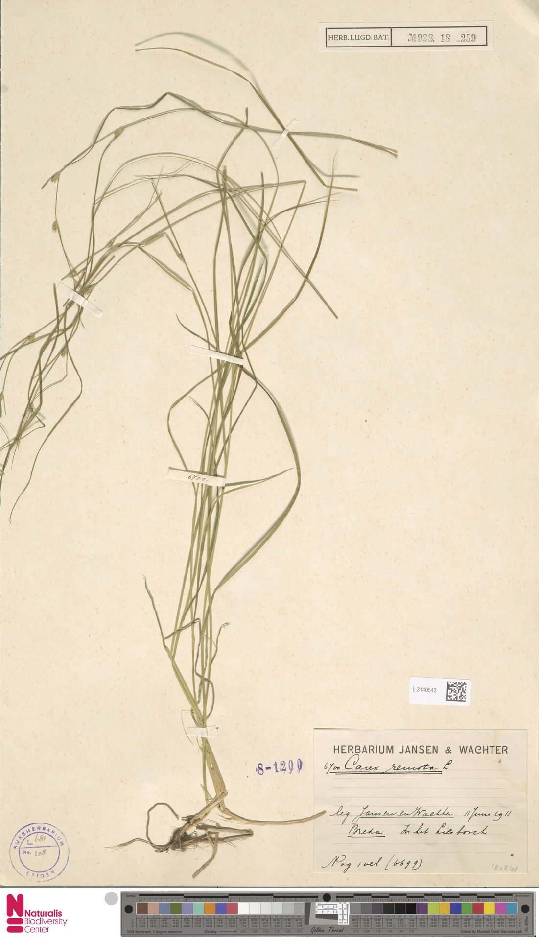 L.3140542   Carex remota L.
