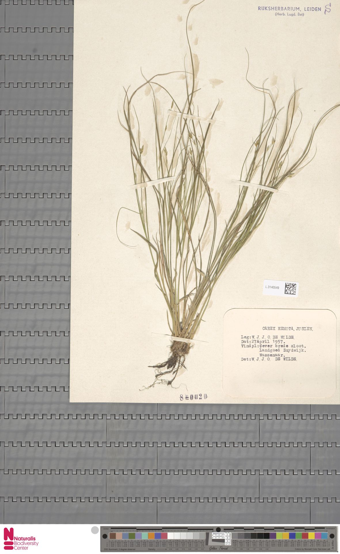 L.3140549 | Carex remota L.